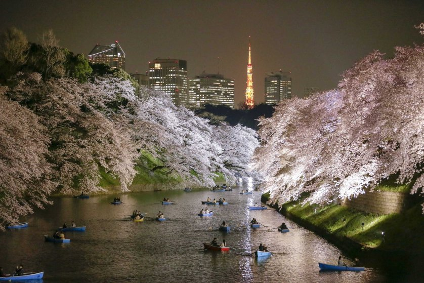 People rowing boats enjoy night view of cherry blossoms in full bloom on Chidorigafuchi moat in Tokyo, March 30, 2015.