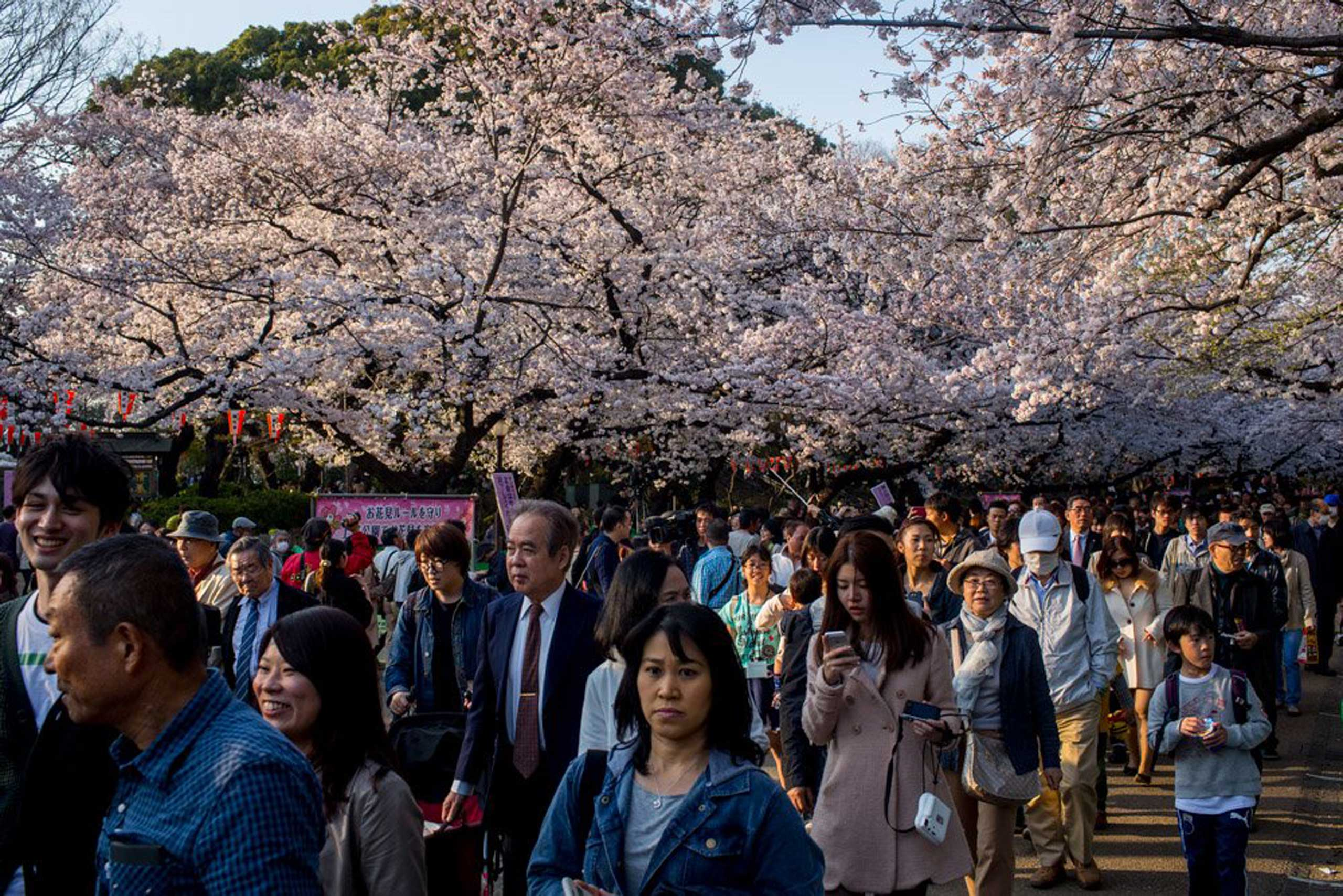 People walk under blooming cherry blossom trees in Ueno Park in Tokyo on March 30, 2015.