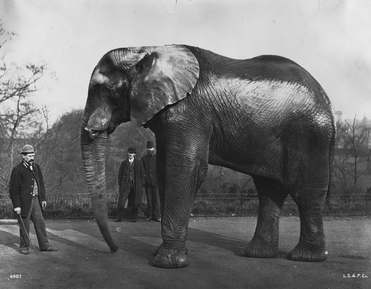 circa 1890:  Jumbo, the famous elephant which belonged to US showman Phineas Taylor Barnum, at London Zoo in Regent's Park