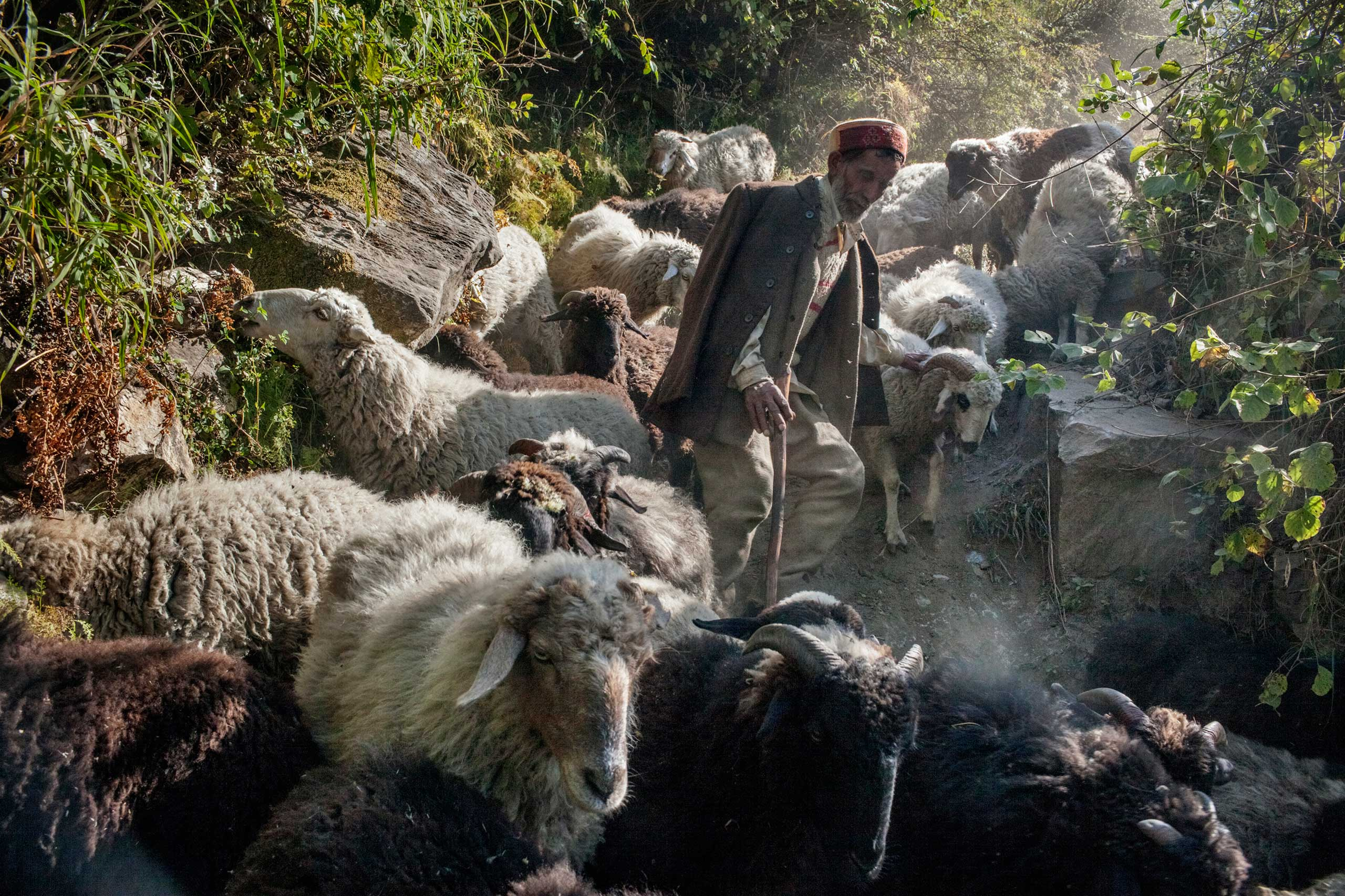 A shepherd walks his 200-head cattle herd downhill as winter approaches in Oct. 2013.