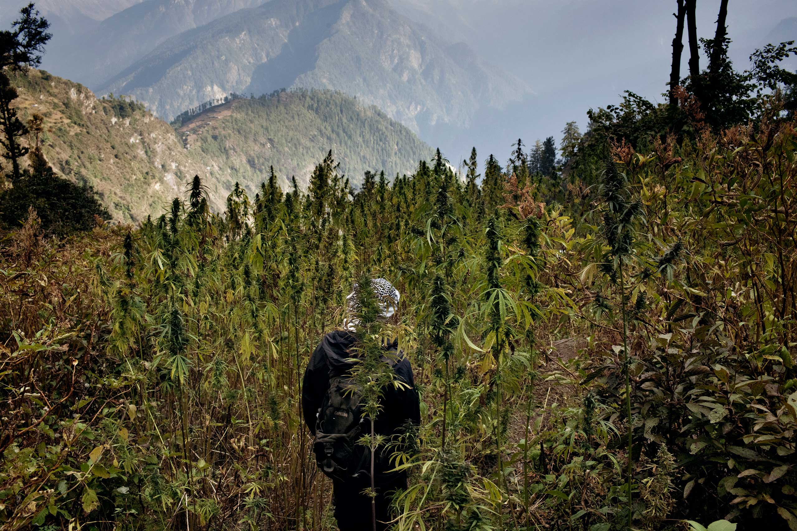 A villager walks through a cannabis field in Oct. 2013.
