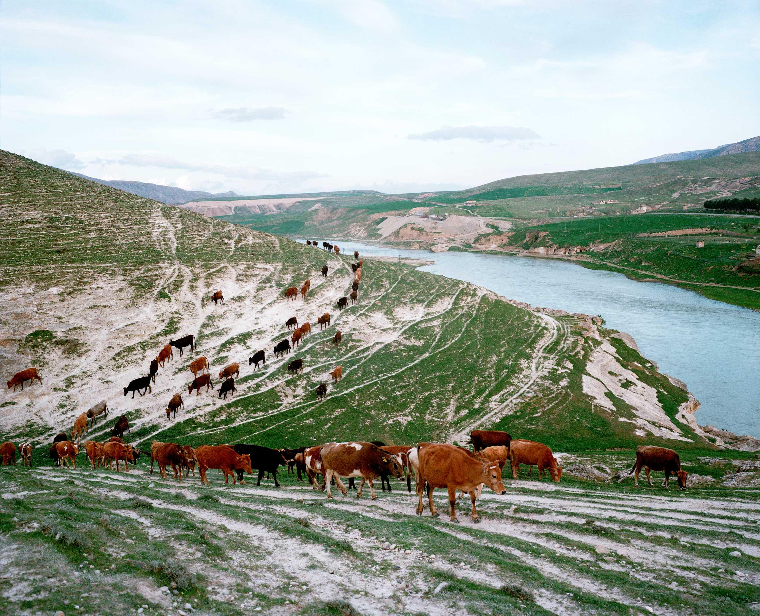 A herd of cattle walk back toward the village by the banks of the Tigris River. Kesmeköprü, Turkey.