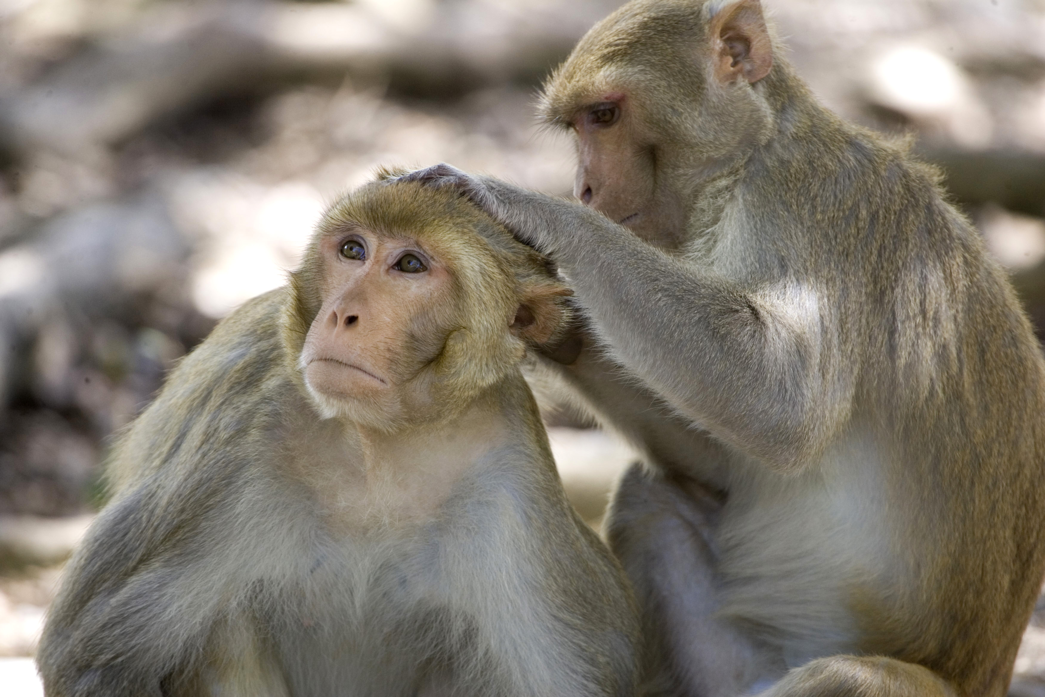 A rhesus macaque monkey grooms another on Cayo Santiago, known as Monkey Island off the eastern coast of Puerto Rico, on July 29, 2008