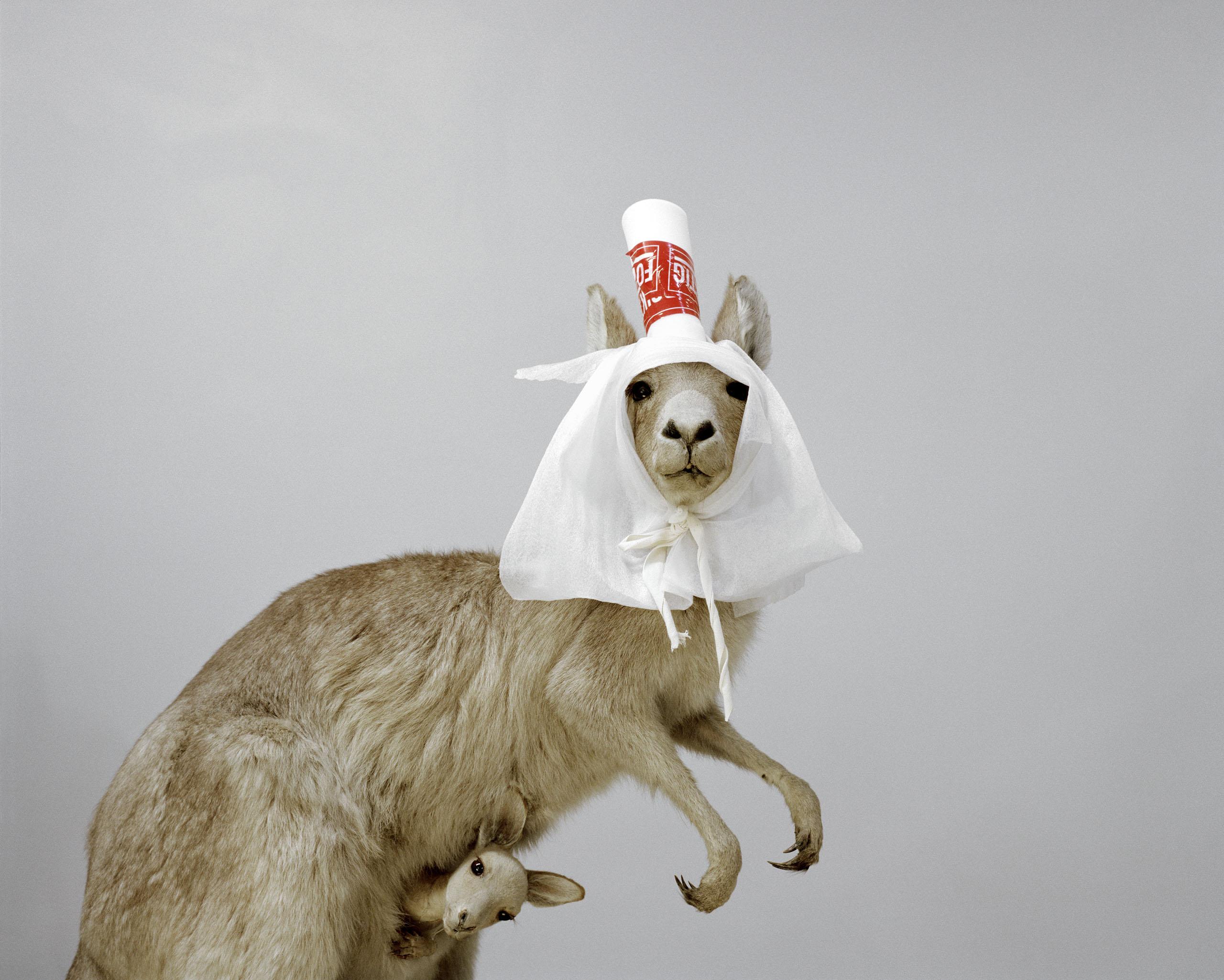 Kangaroo (Macropodidae)