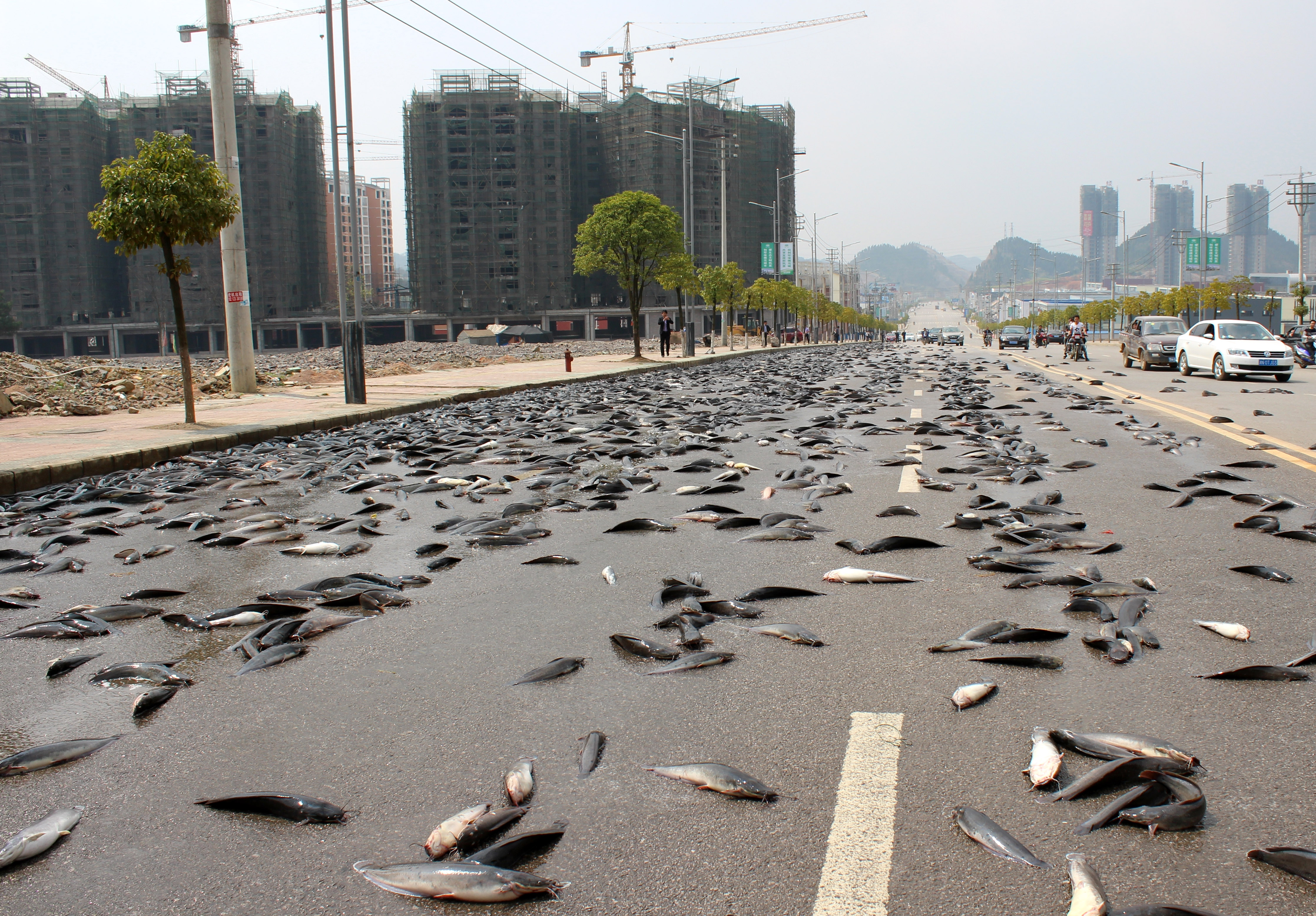 Thousands of kilograms of catfish scatter across the road in the Kaili Development Zone in Qiandongnan Miao and Dong Autonomous Prefecture on March 17, 2015, in Kaili, Guizhou province of China