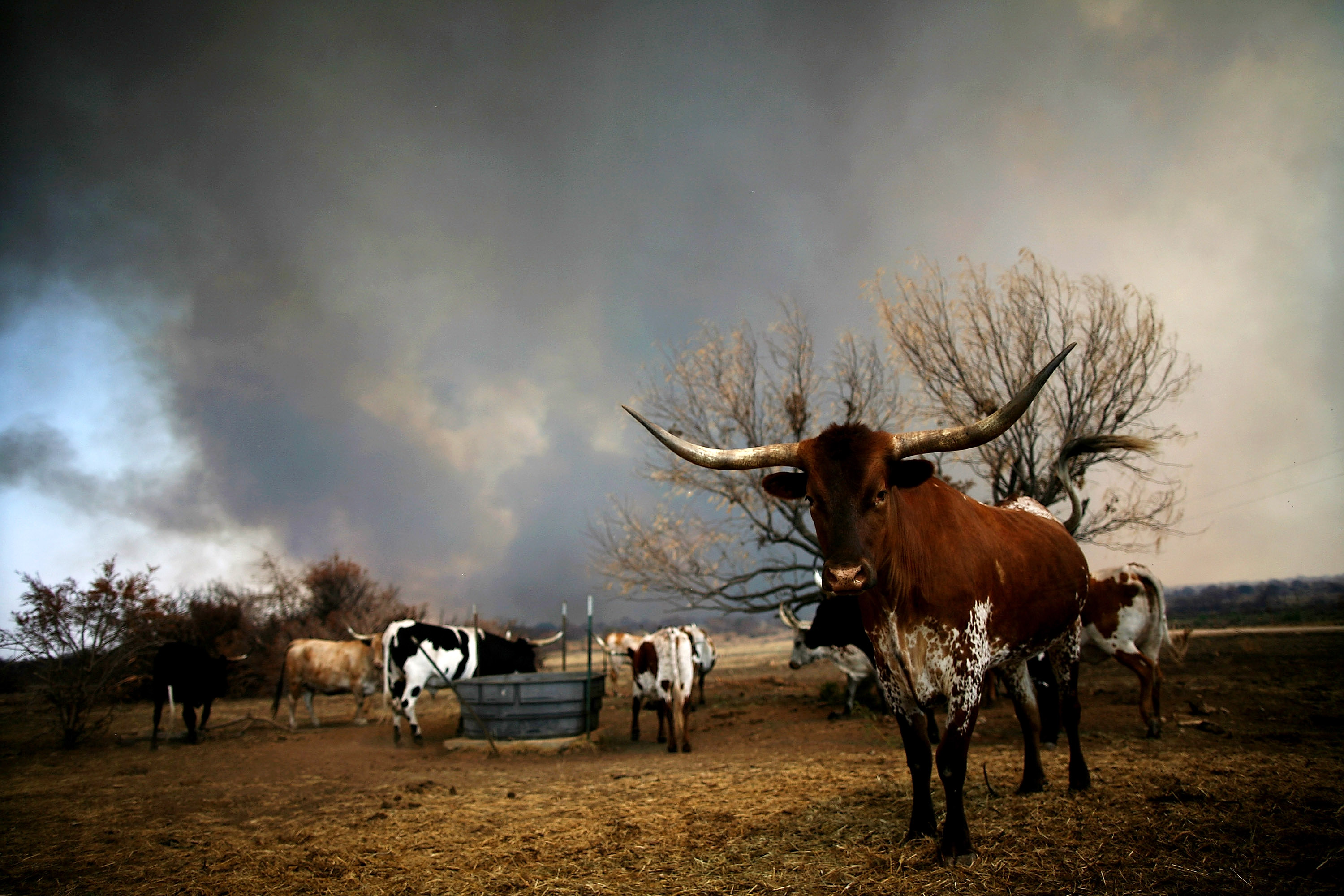 A herd of longhorn cattle stand as wildfire rages near on September 1, 2011 in Graford, Texas