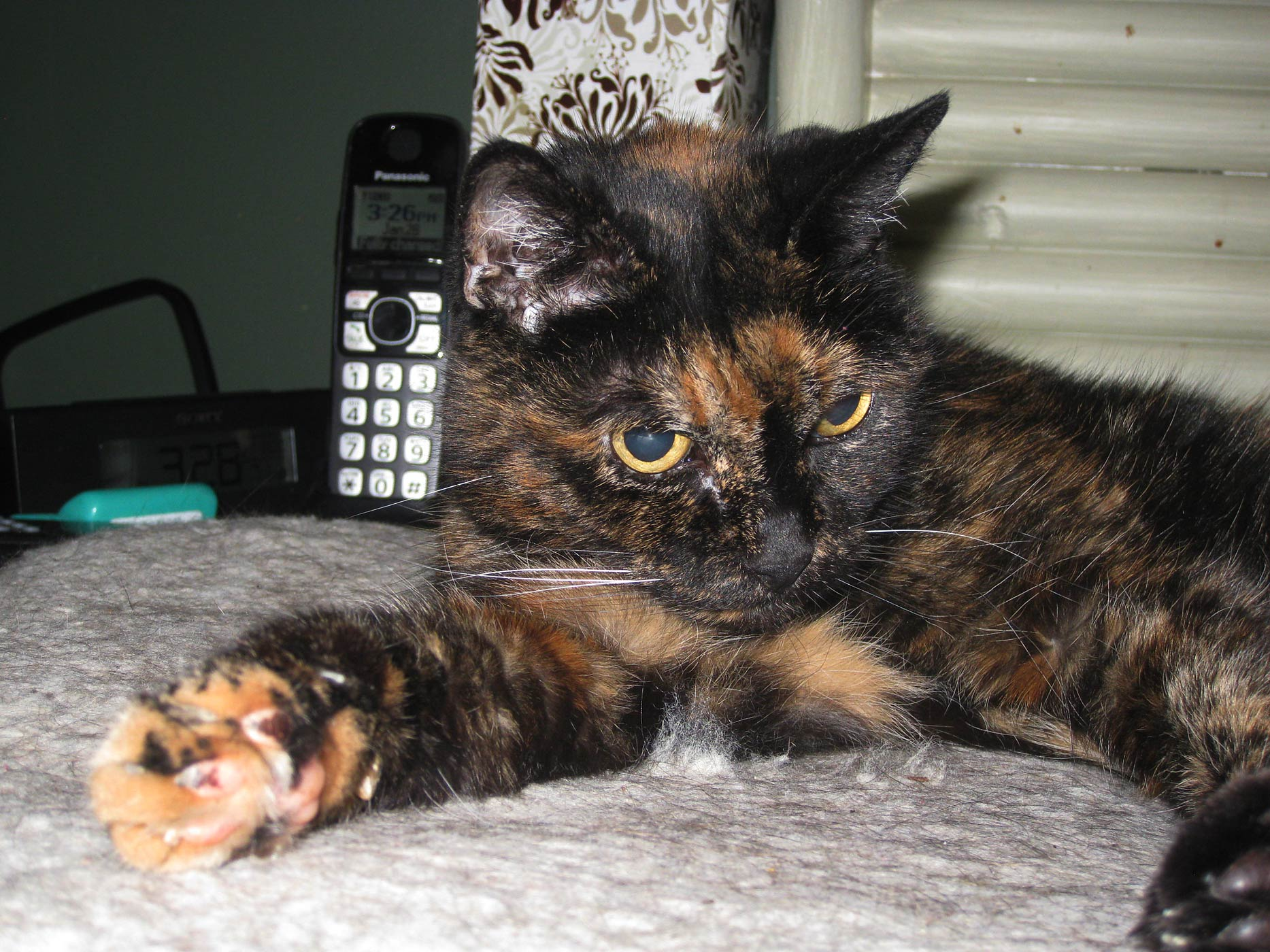 Tiffany Two, the oldest living cat in the world, at home in San Diego, California.