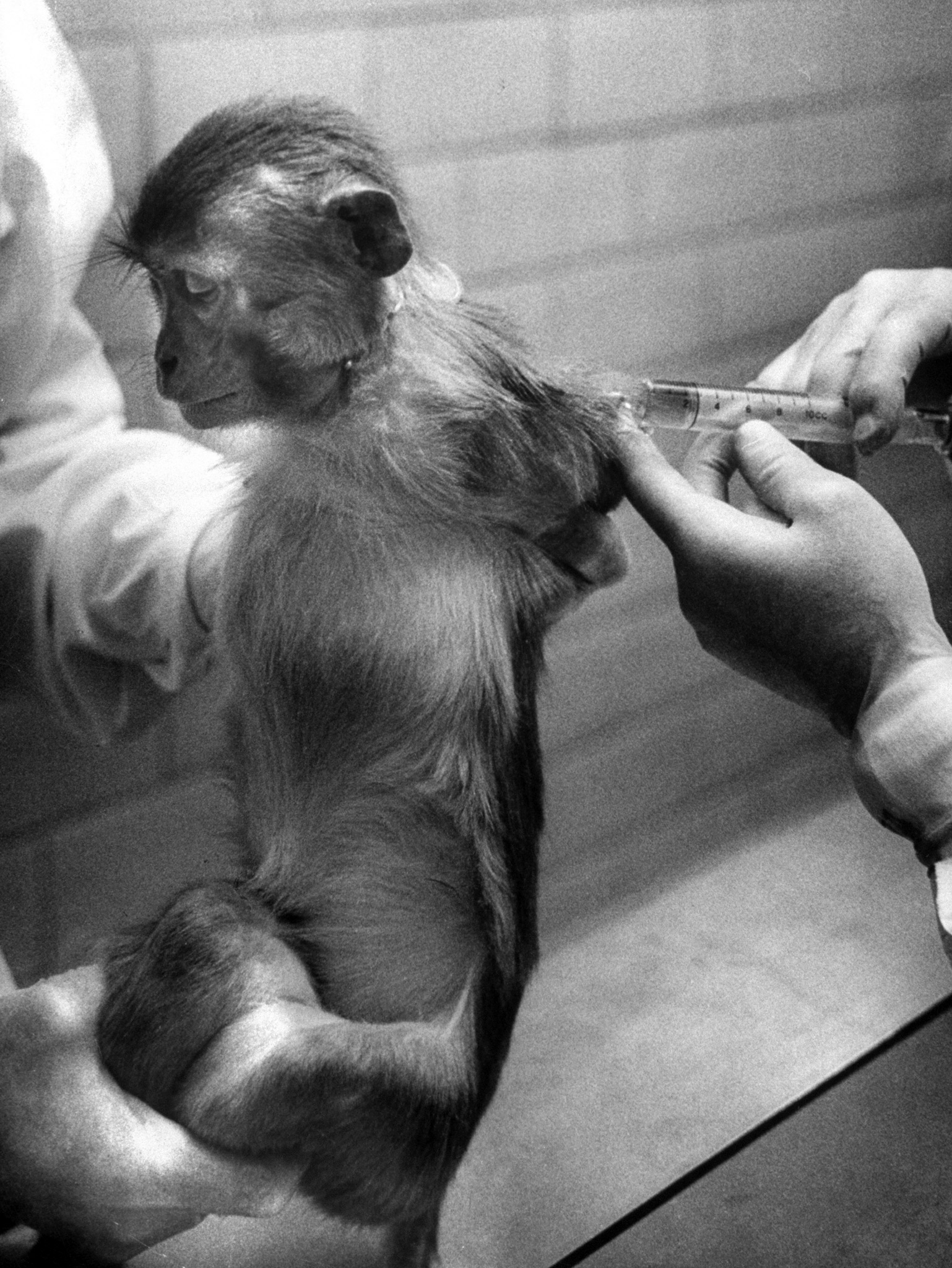 <b>Caption from LIFE.</b> Potency test is performed with monkey who gets injections of vaccine just as children. Blood sample is examined to see if antibodies have formed.