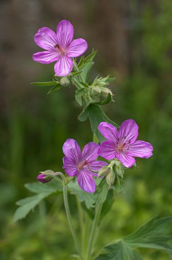 pink-sticky-geranium