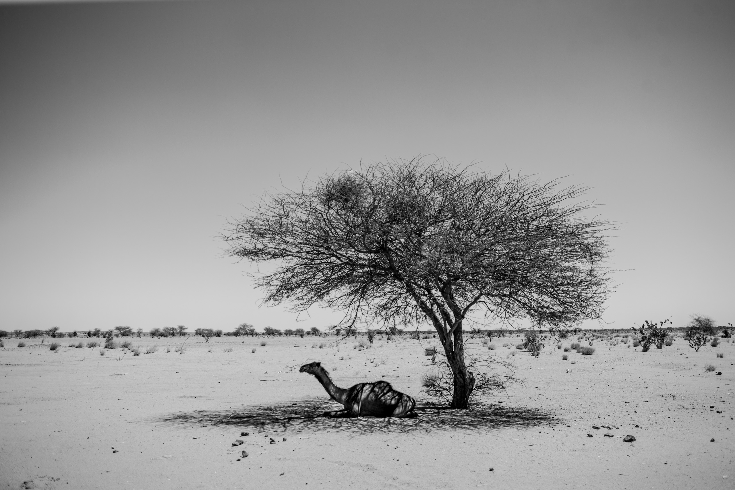 A camel rests under a tree in the desert north of Agadez, Niger. Temperatures in the Sahara easily rise to 110 F during the day and plummet to the low 50s at night.