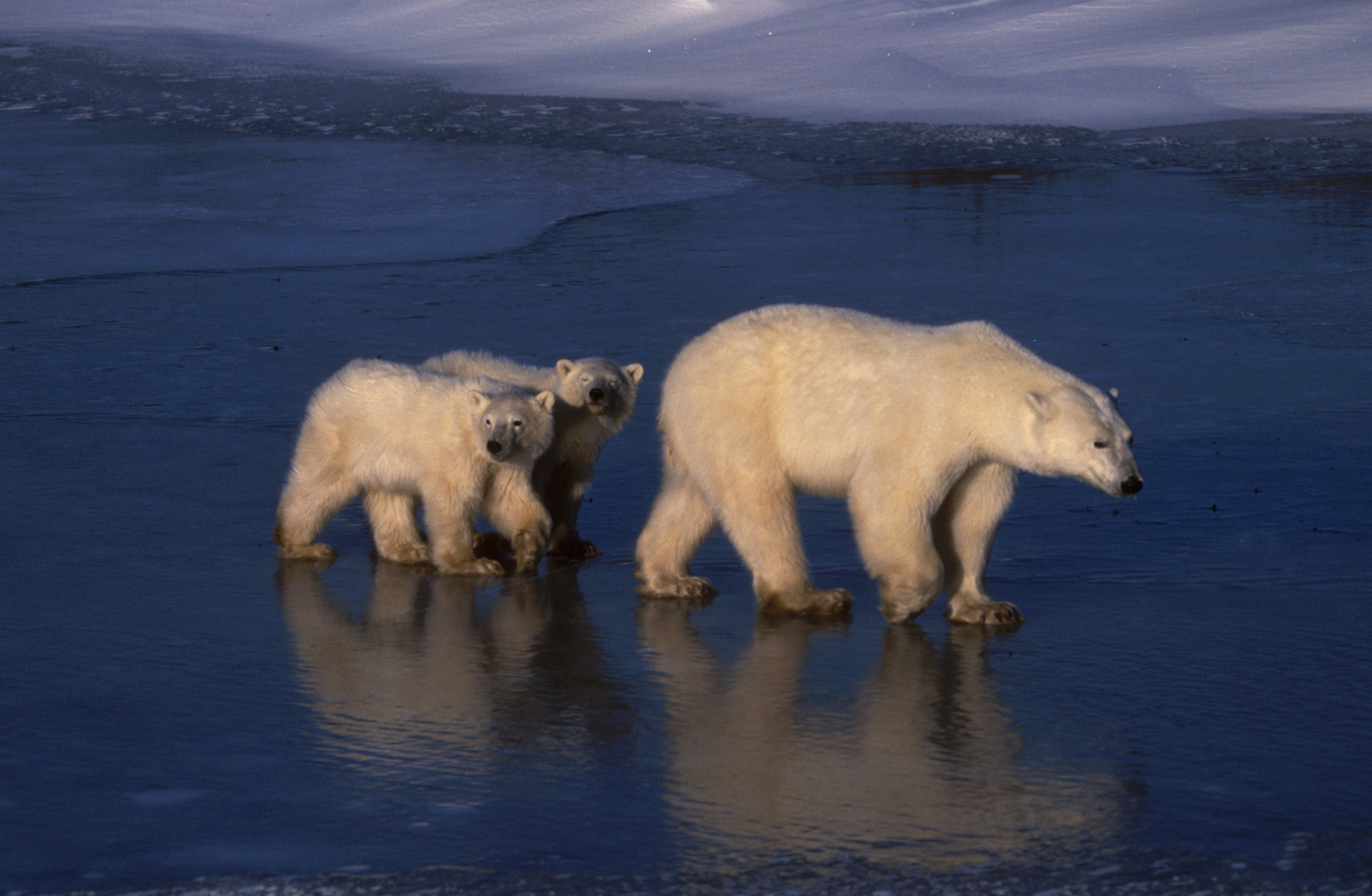 A pair of polar bear cubs following their mother on ice at Hudson Bay, Canada, from the opening episode of Discovery's  Planet Earth  series.