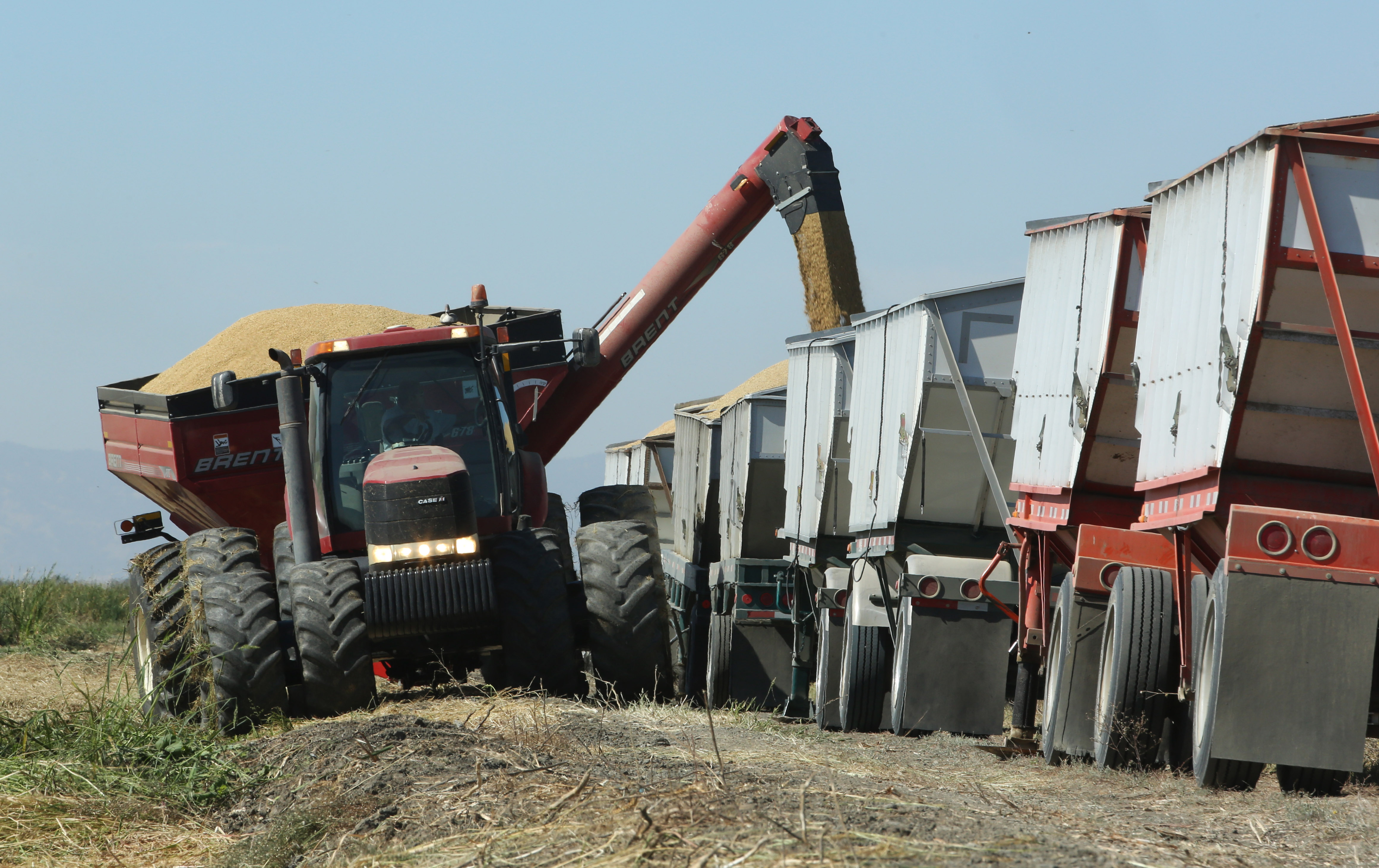 Rice harvested by Mike DeWitt is loaded into trucks near Davis, Calif., Oct. 10, 2014. DeWitt is among the Sacramento Valley farmers who planted 25 percent less rice than normal because of water cutbacks.