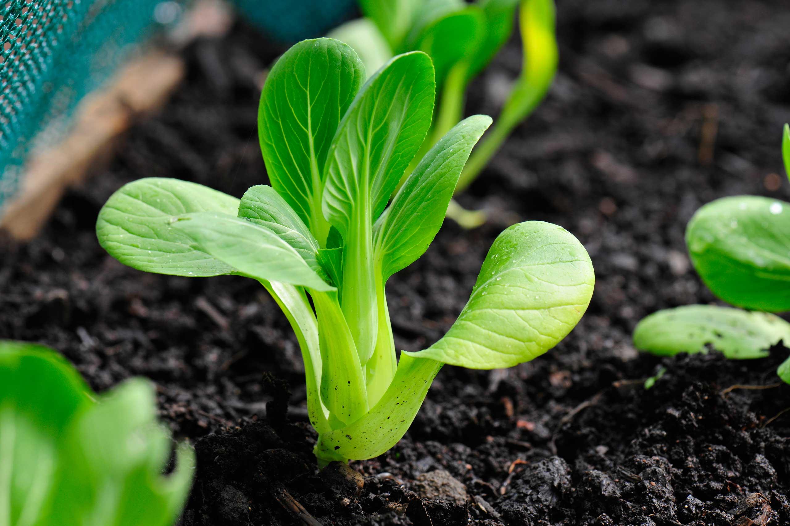 Bok Choy growing in vegetable garden