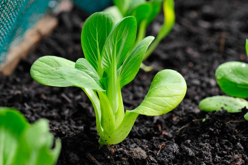 Bok Choy growing in vegetable garden