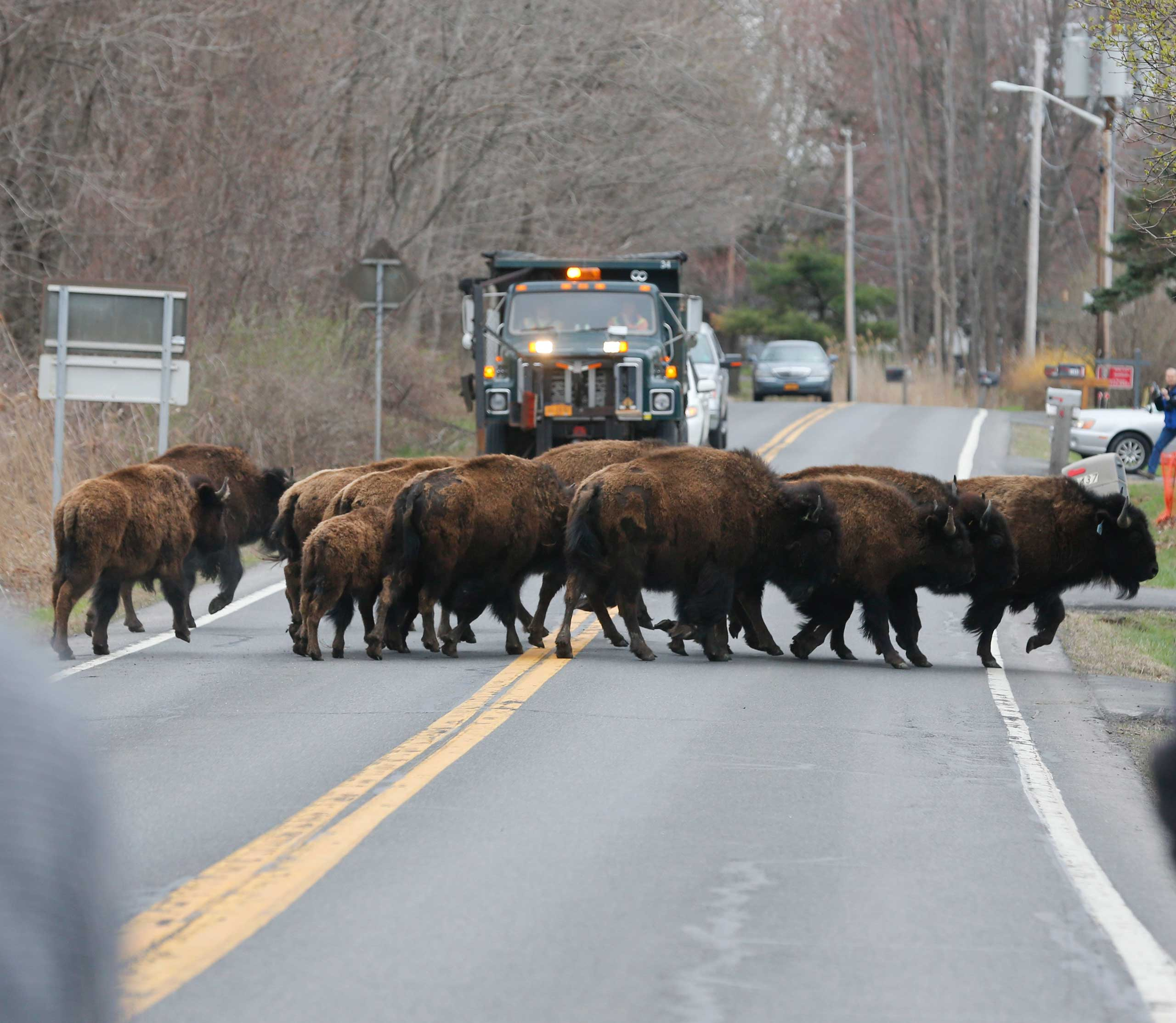 A herd of buffalo cross a road in Bethlehem, N.Y., on Apr. 24, 2015