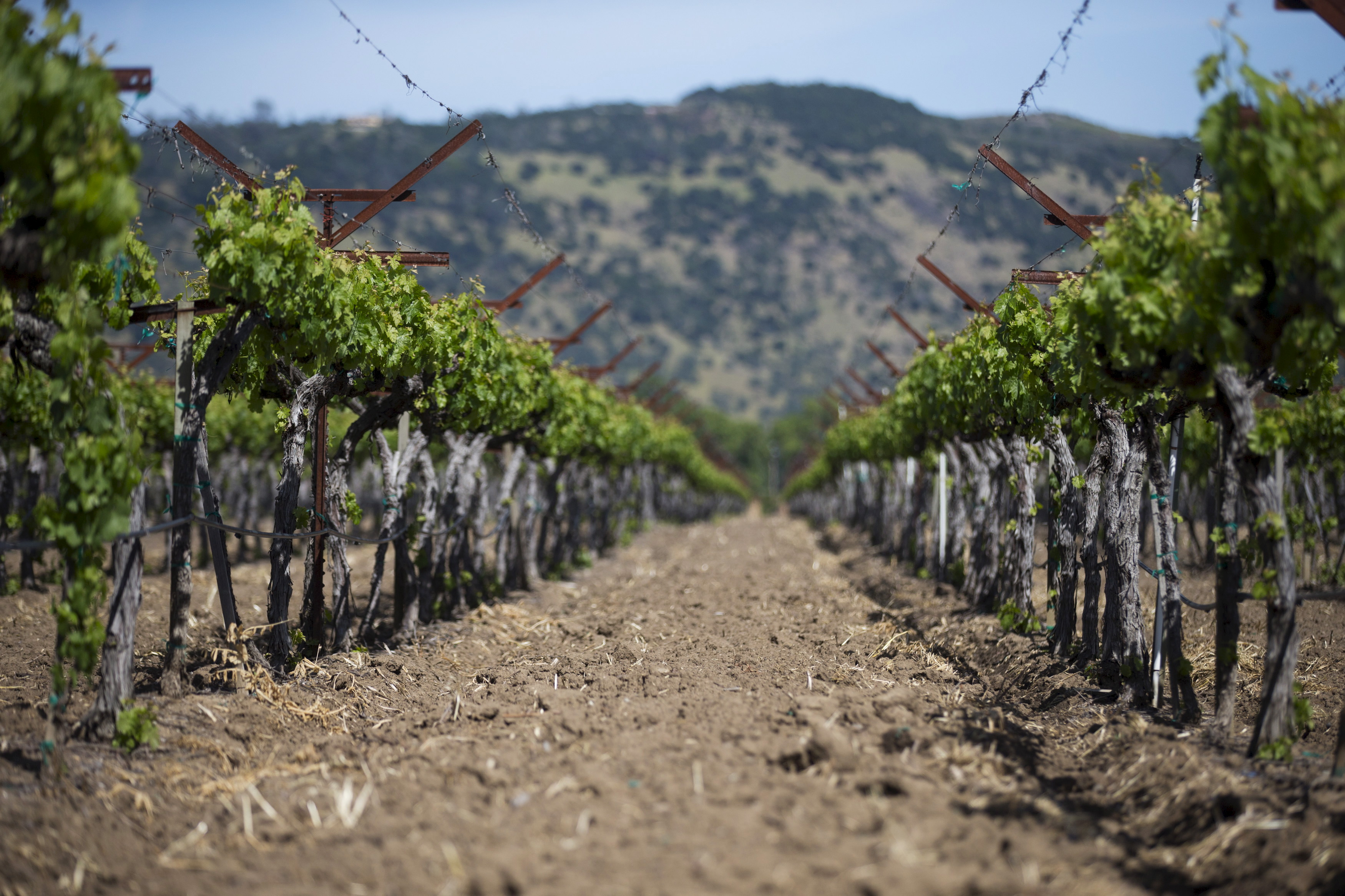 Dry earth is seen between rows of grapevines in Napa, California April 9, 2015. The state is in the fourth year of one of the worst droughts on record.