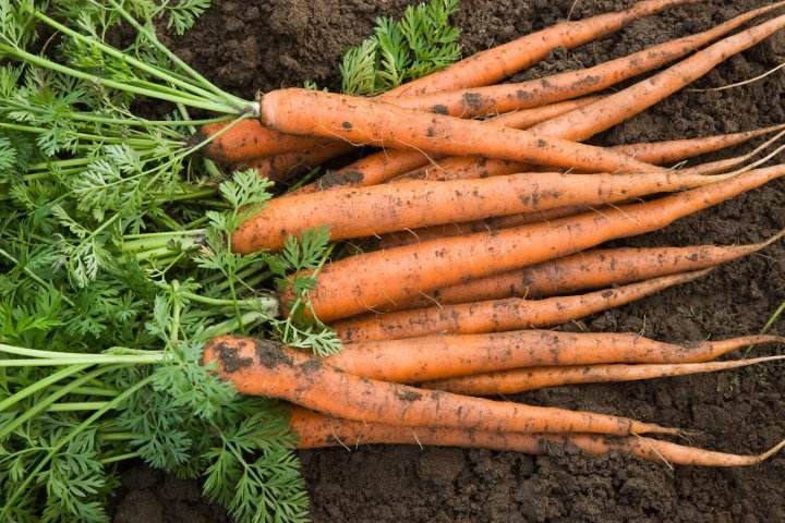 Harvested carrots lying in soil