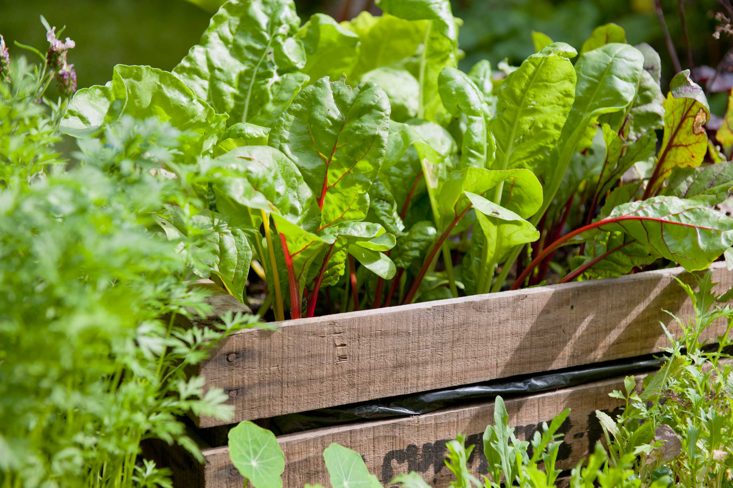 Red chard growing in wooden crate