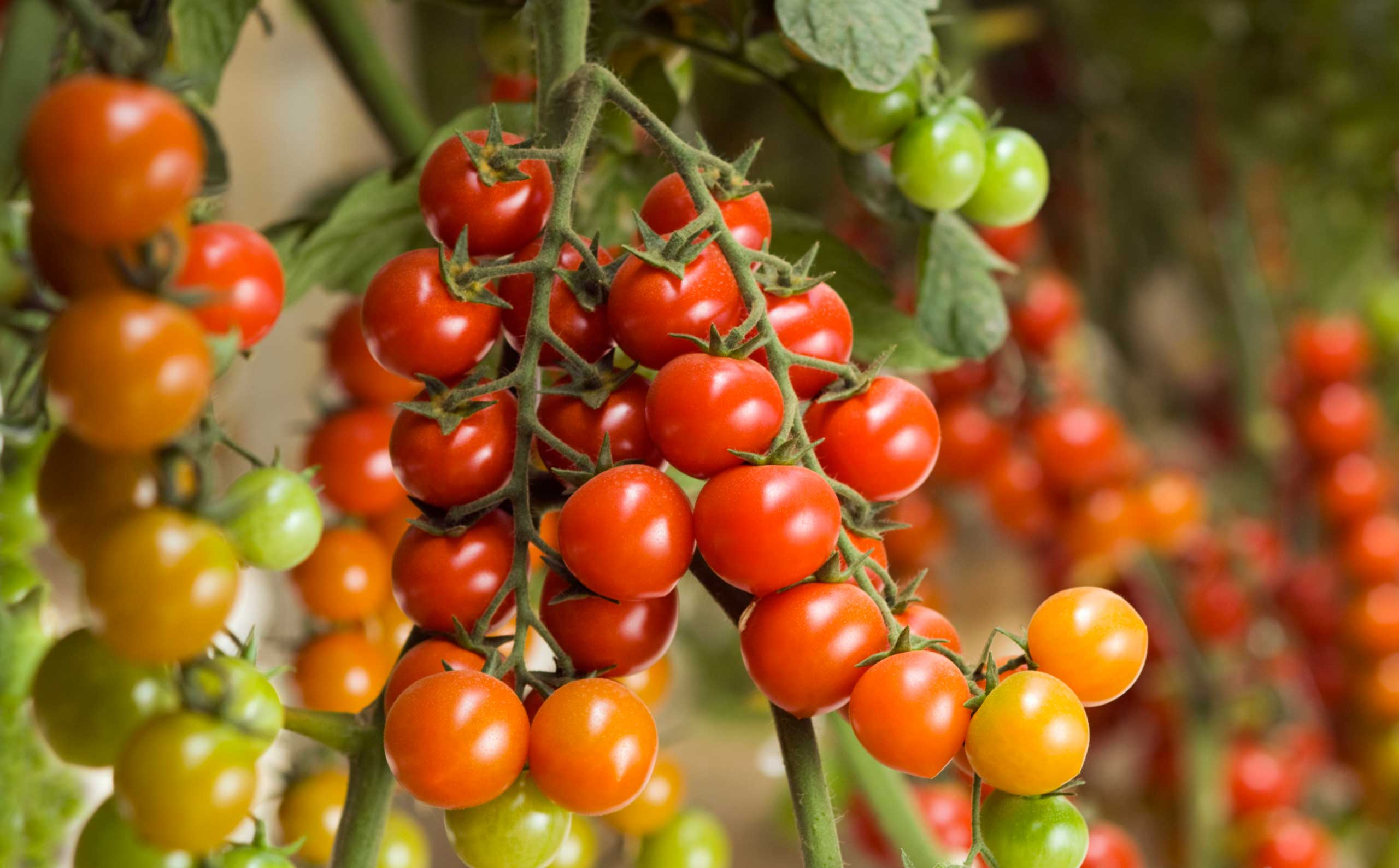 Farming Cherry tomatoes