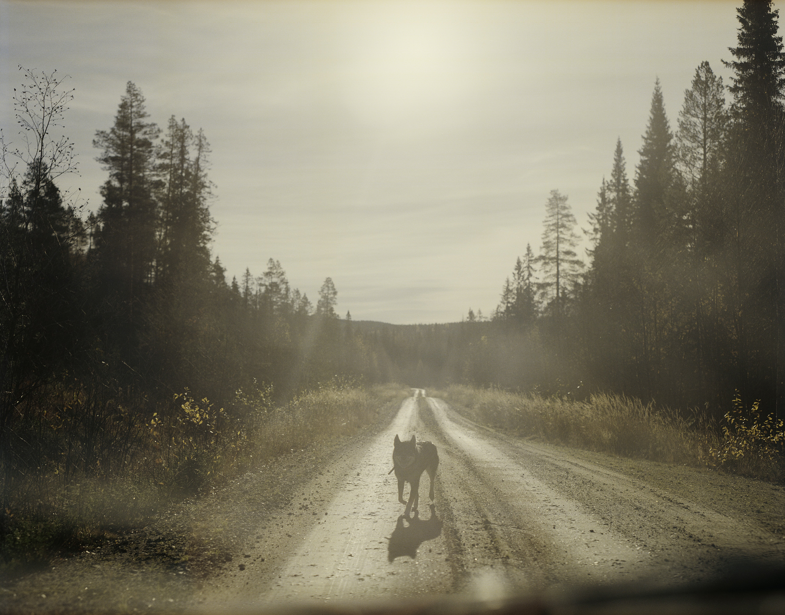 Dog, Vargträsk ( Wolf Marsh ), 2006. The inland of Västerbotten is often described as a culturally male milieu. Partly because of popular recreational pursuits as hunting and fishing. This dog is used in the elk hunt.