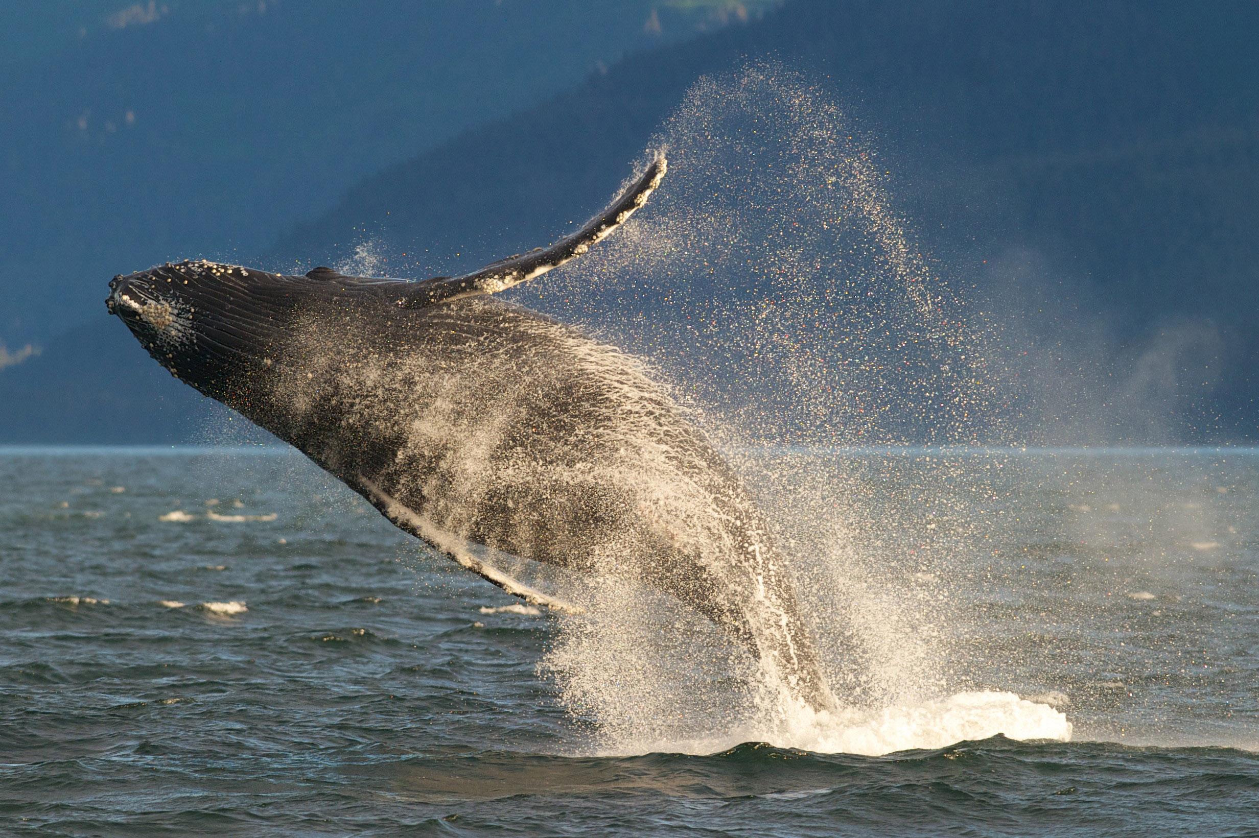 In this July 9, 2014 photo, an adult humpback whale breaches in Lynn Canal near Juneau, Alaska.
