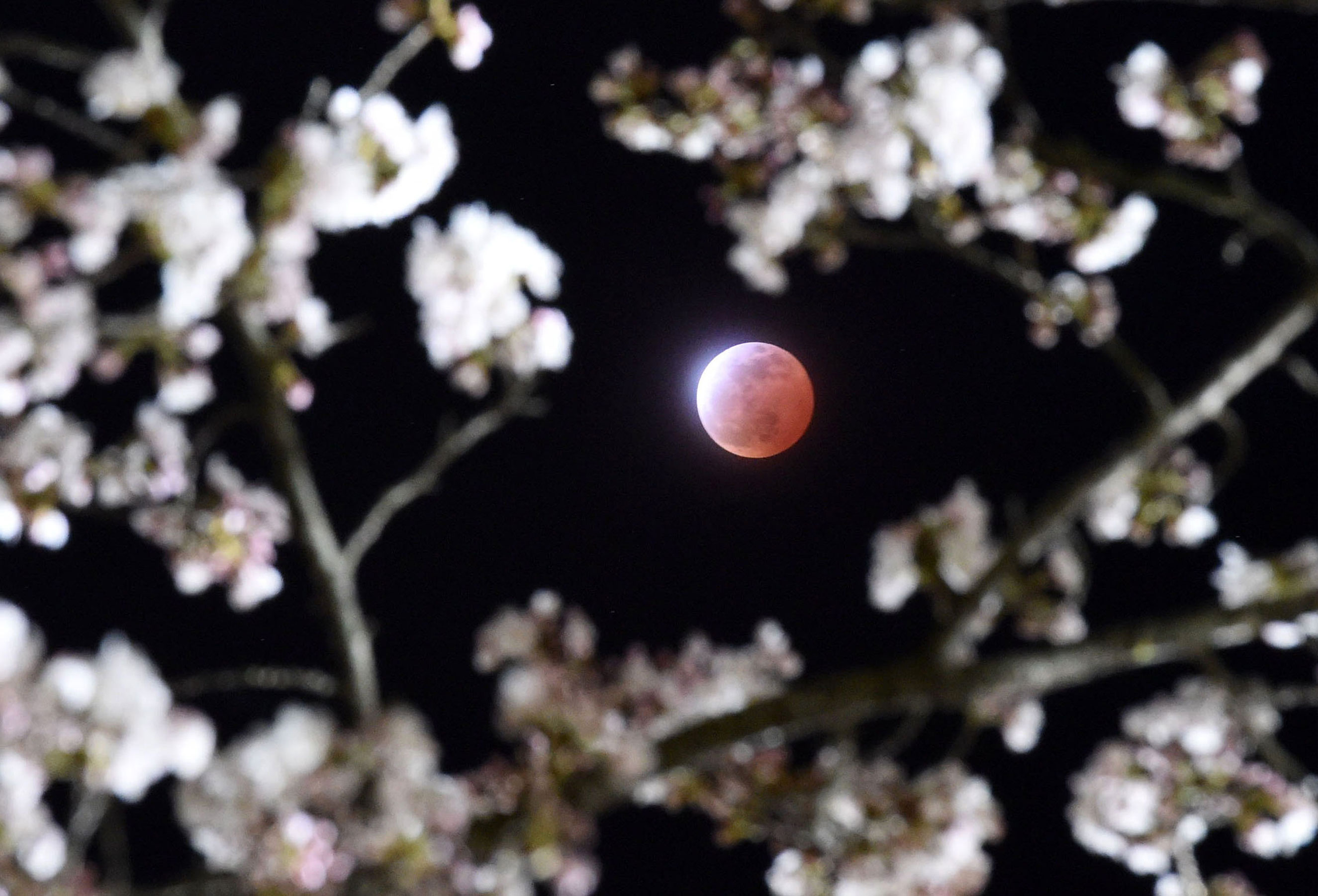 The eclipse above cherry blossoms in Shiraishi city, Miyagi prefecture, Japan on April 4, 2015.
