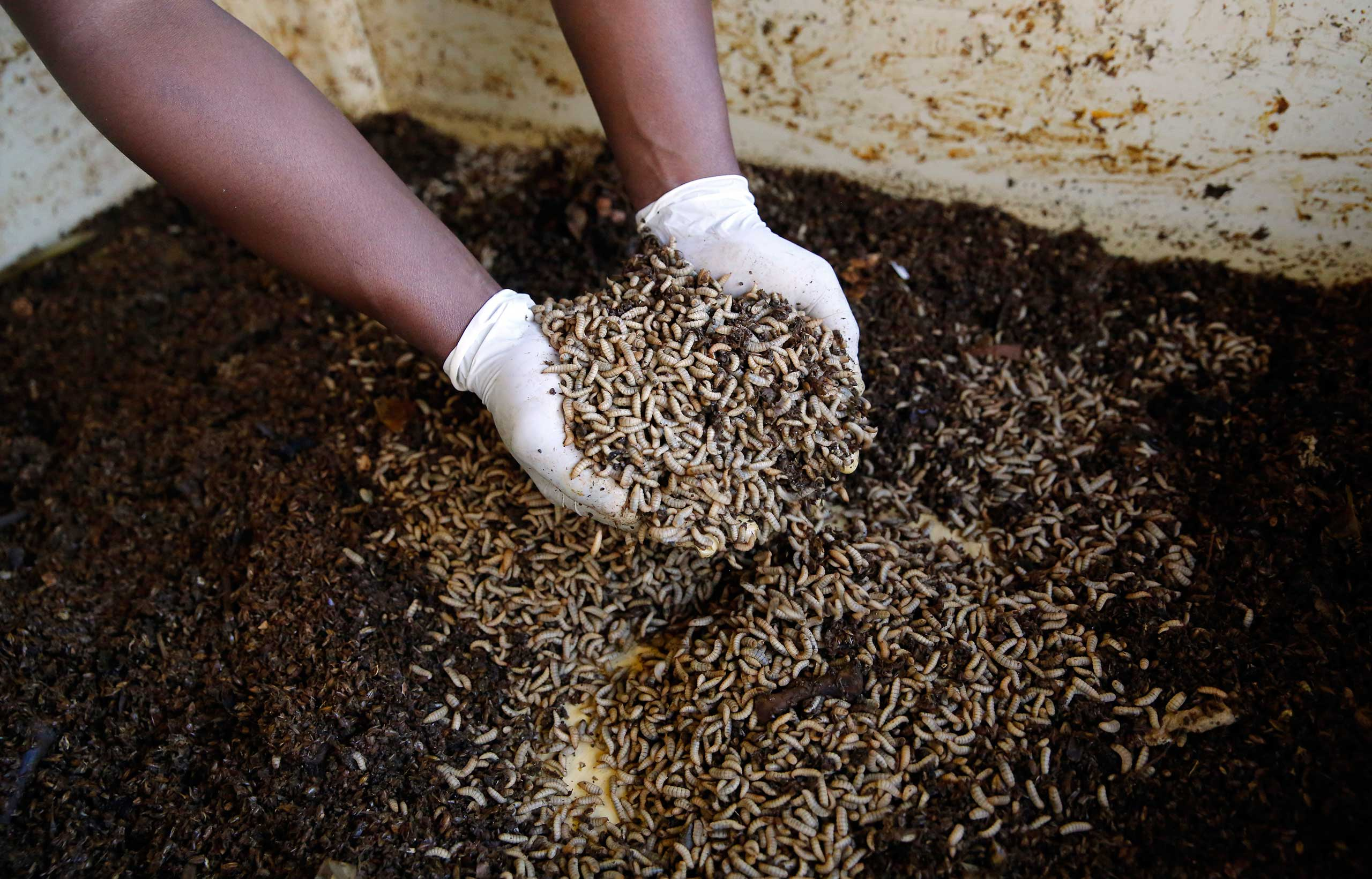 A worker holds up fly larvae waiting to be harvested at the AgriProtein project farm near Cape Town, in 2014.