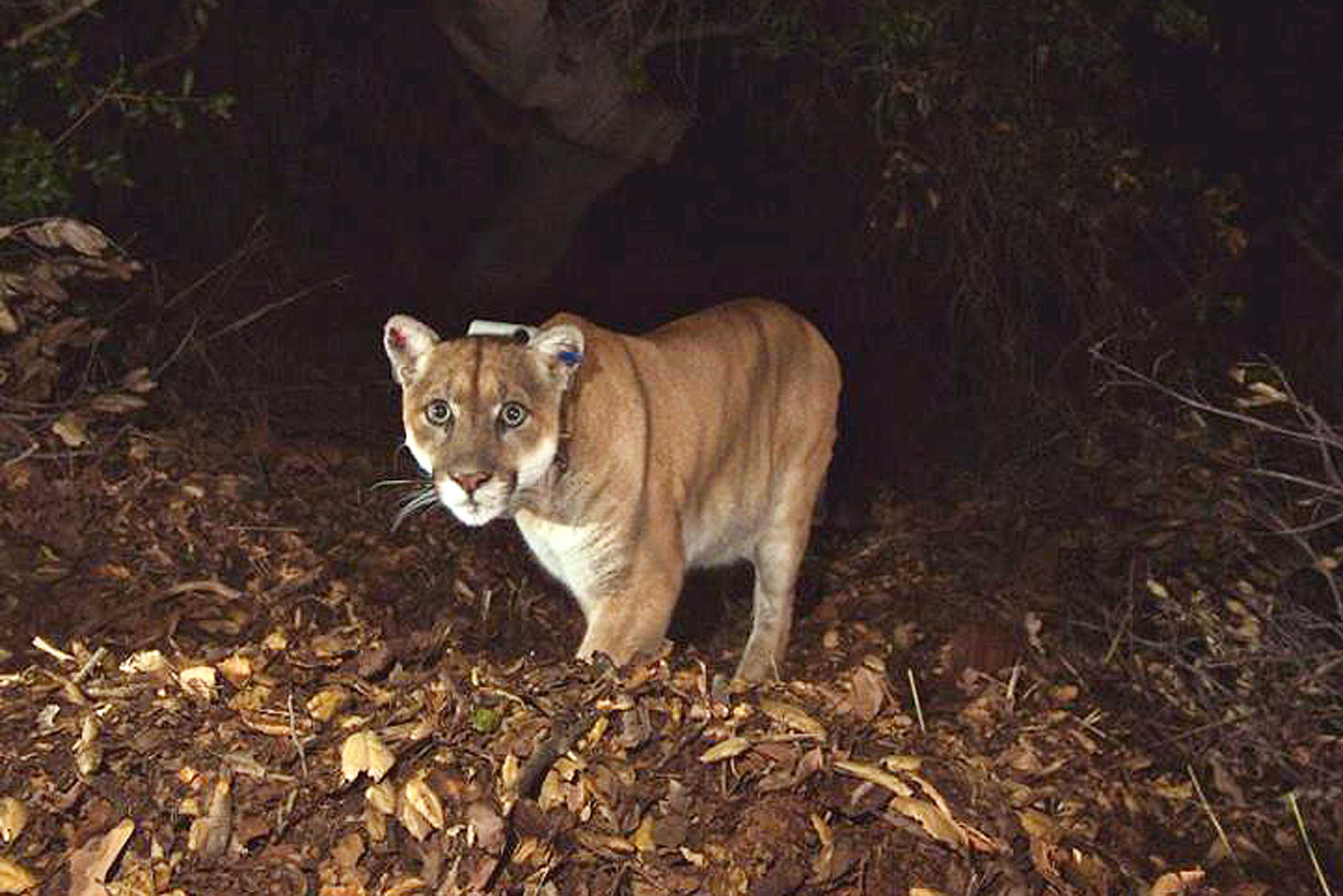 This Nov. 2014 photo provided by the National Park Service shows the mountain lion known as P-22, the mountain lion living in Los Angeles' Griffith Park.