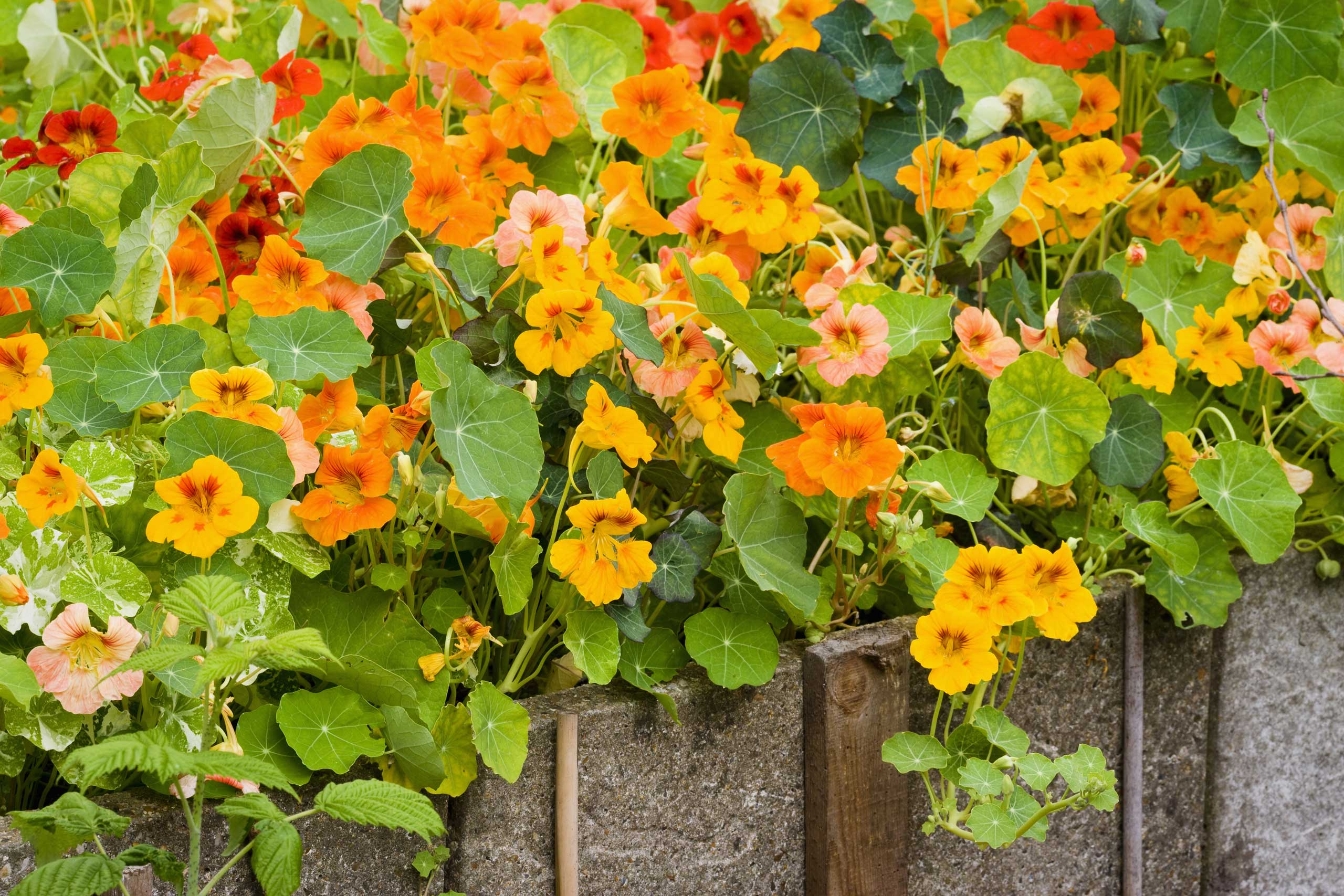 Nasturtiums (Tropaeolum) including 'Alaska' and 'Empress of India'