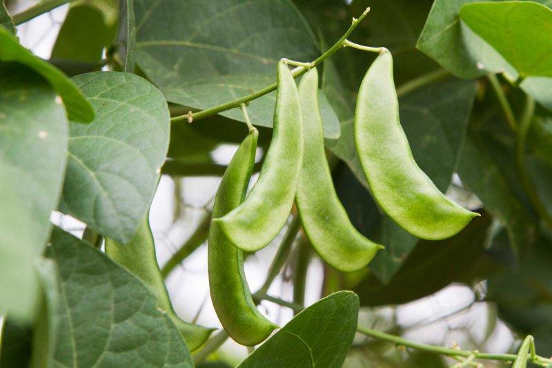 Peas on the vine