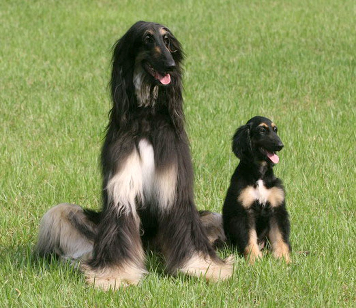 Snuppy, (R) the first successfully cloned Afghan hound, sits with his genetic father at the Seoul National University on Aug. 3, 2005 in Seoul