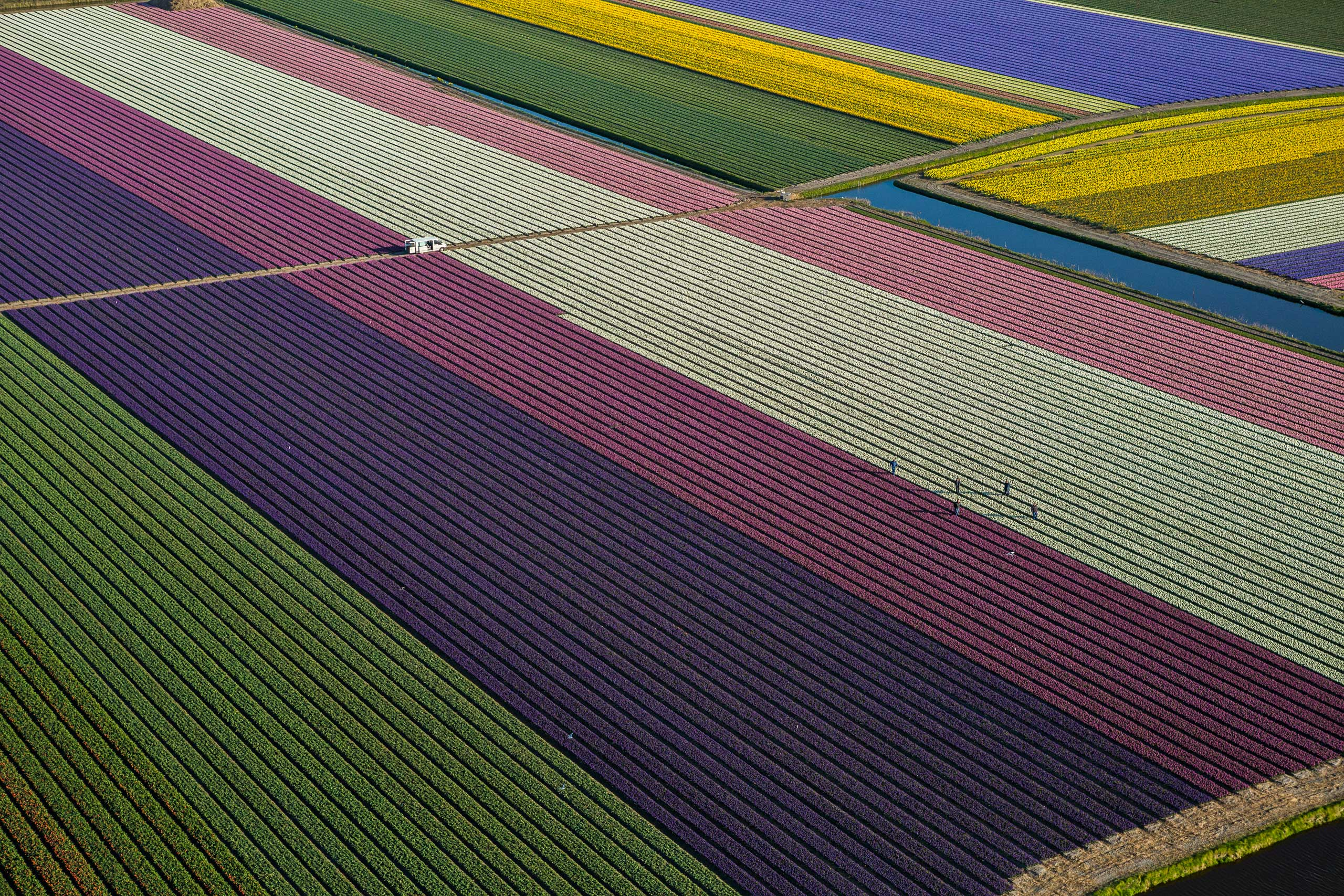 Tulips blooming in fields between Amsterdam and Leiden, The Netherlands.