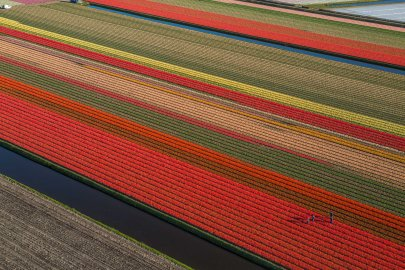 Tulips blooming/picking between Amsterdam and Leiden.