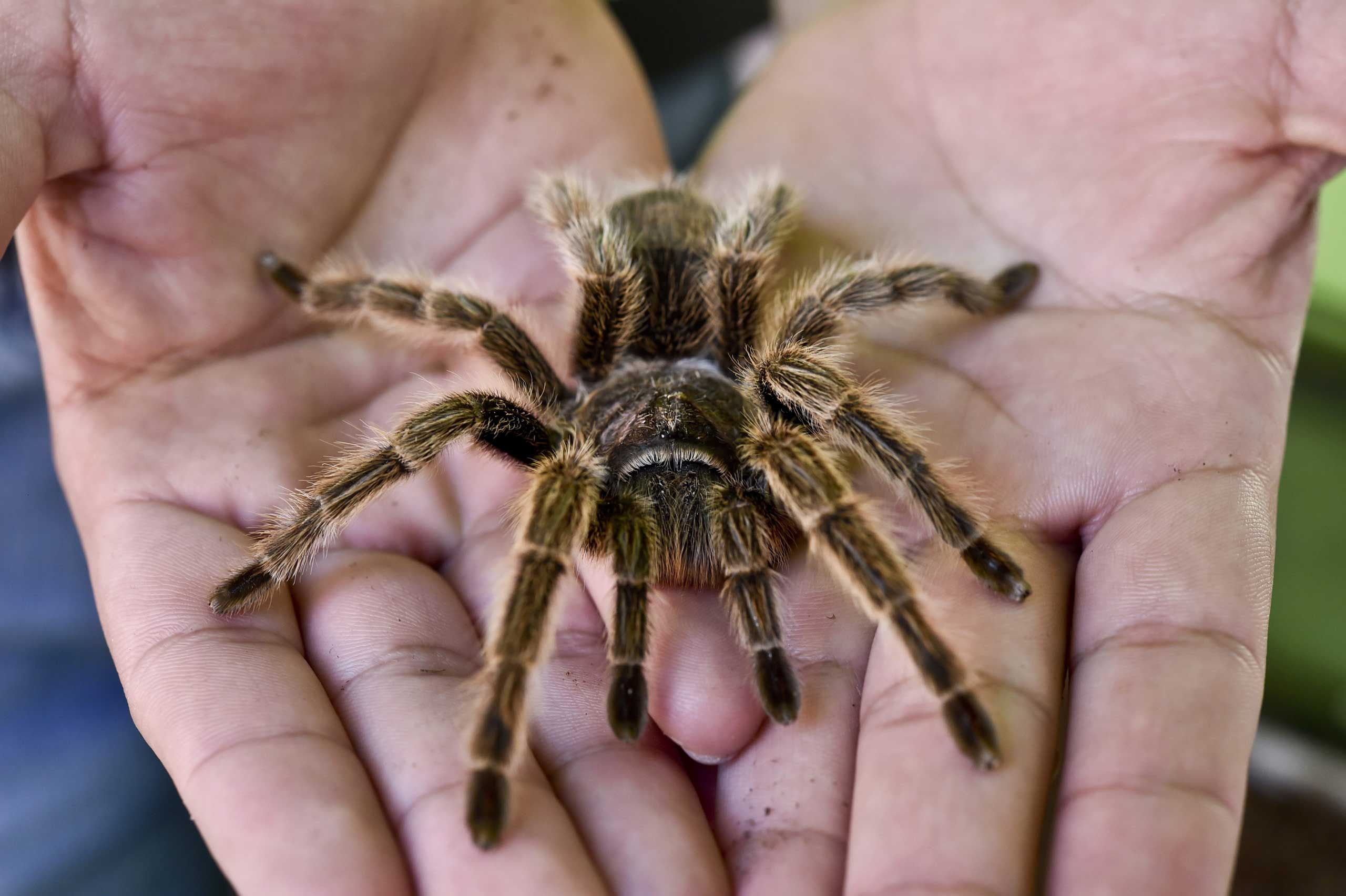 A worker of the Chapultepec Zoo shows a pink tarantula (Grammostola Rosea) on March 19, 2015 in Mexico City.
