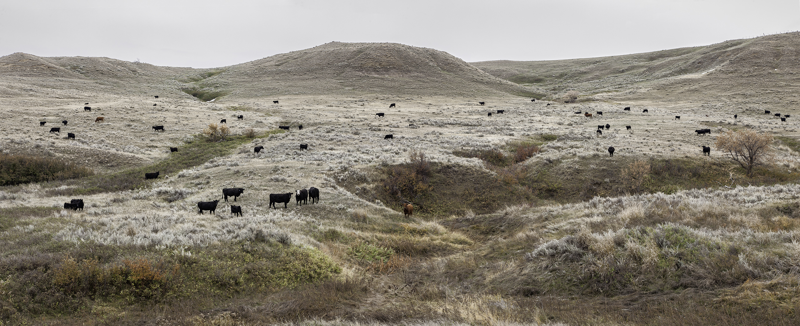 October Cows, Sheridan County, October 13, 2013