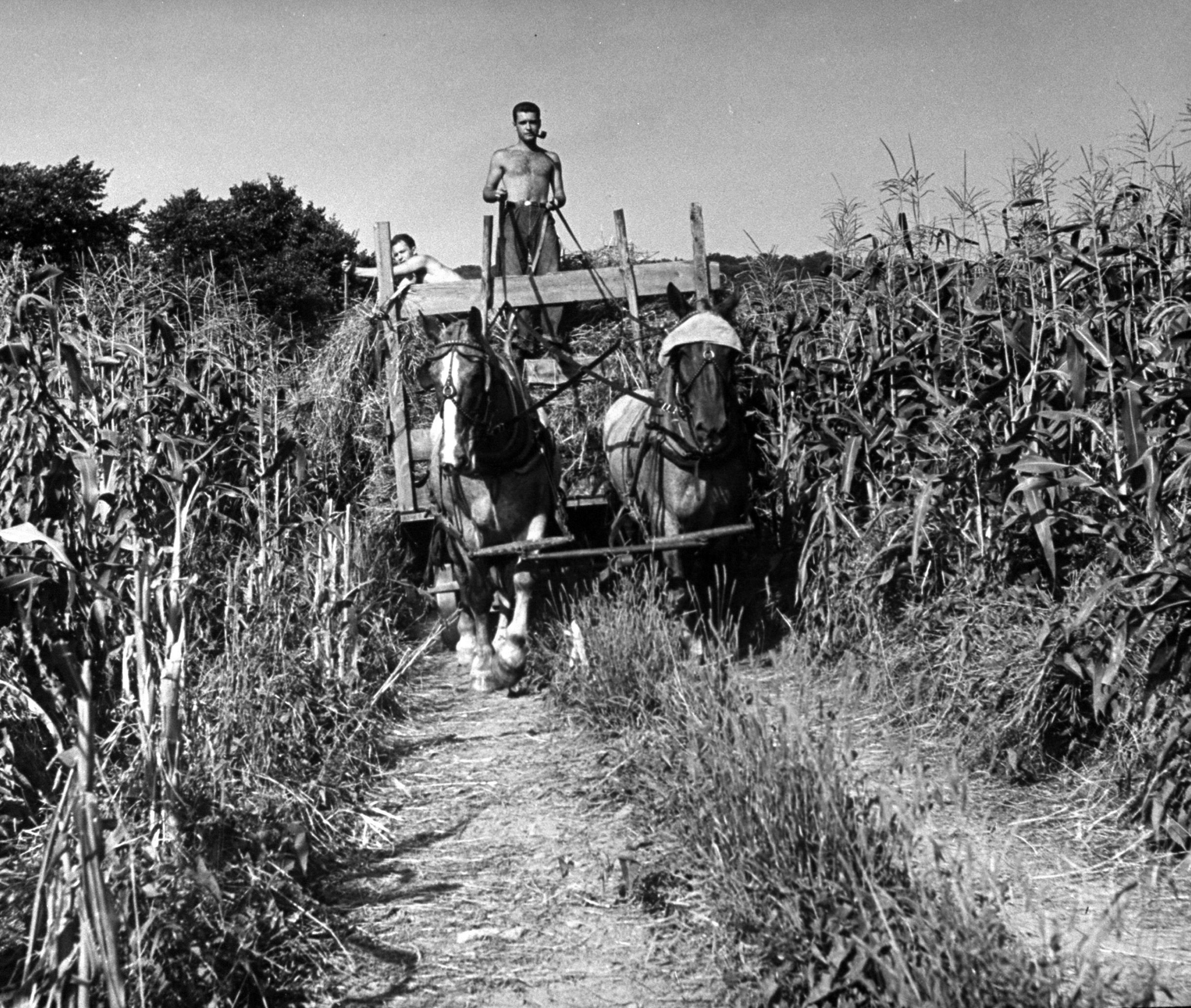 """<b>Caption from LIFE.</b> Through tall corn Murray Blackman drives two Belgian horses while """"Ace"""" Markowitz, another Land Corps boy, distributes the last forkful of hay over the wagon."""