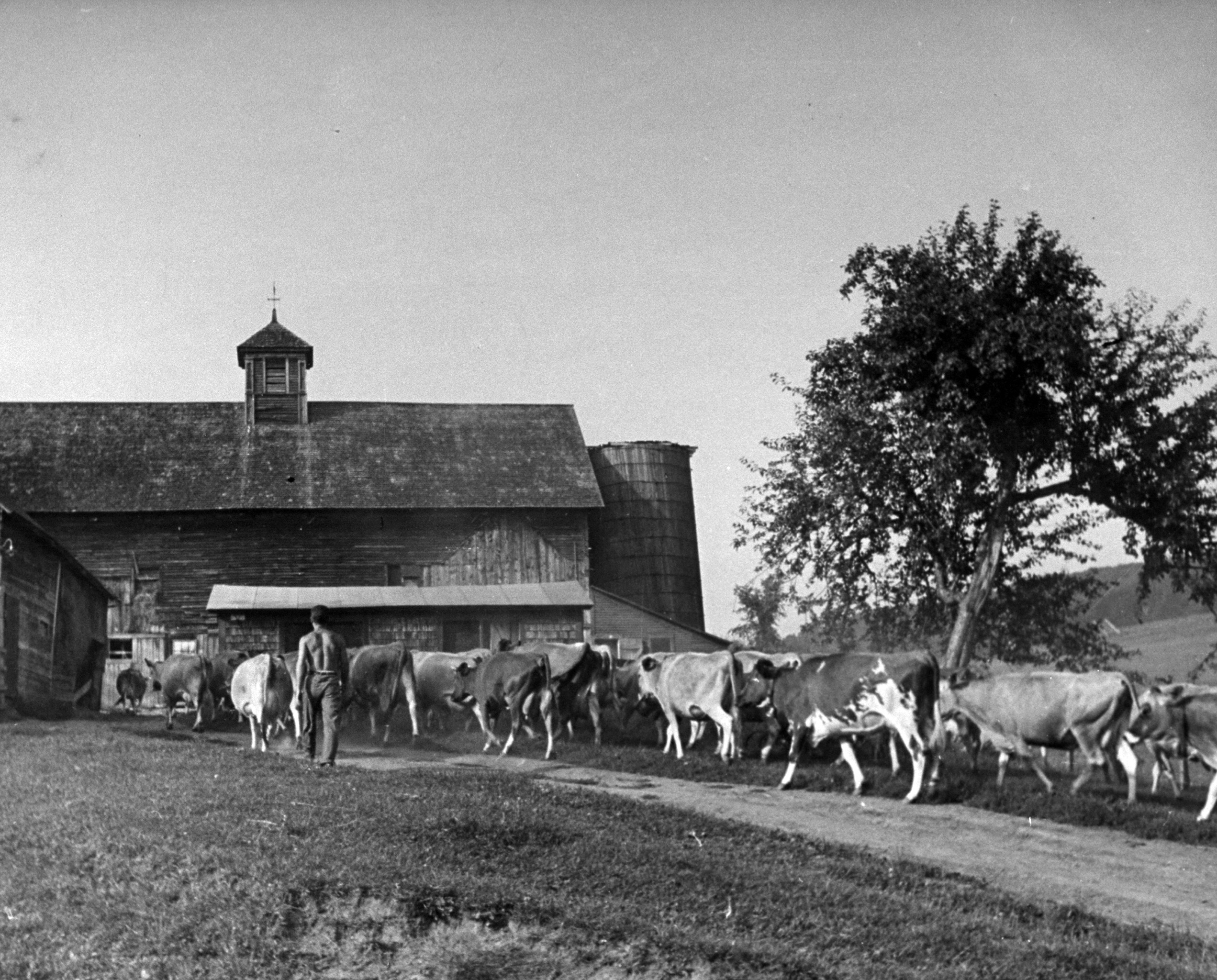 <b>Caption from LIFE.</b> Sleek cows on Edson farm near Windsor are guided to barn for milking by 22-year-old Murray Blackman of New York. Murray also pitched hay, cleaned the barn.