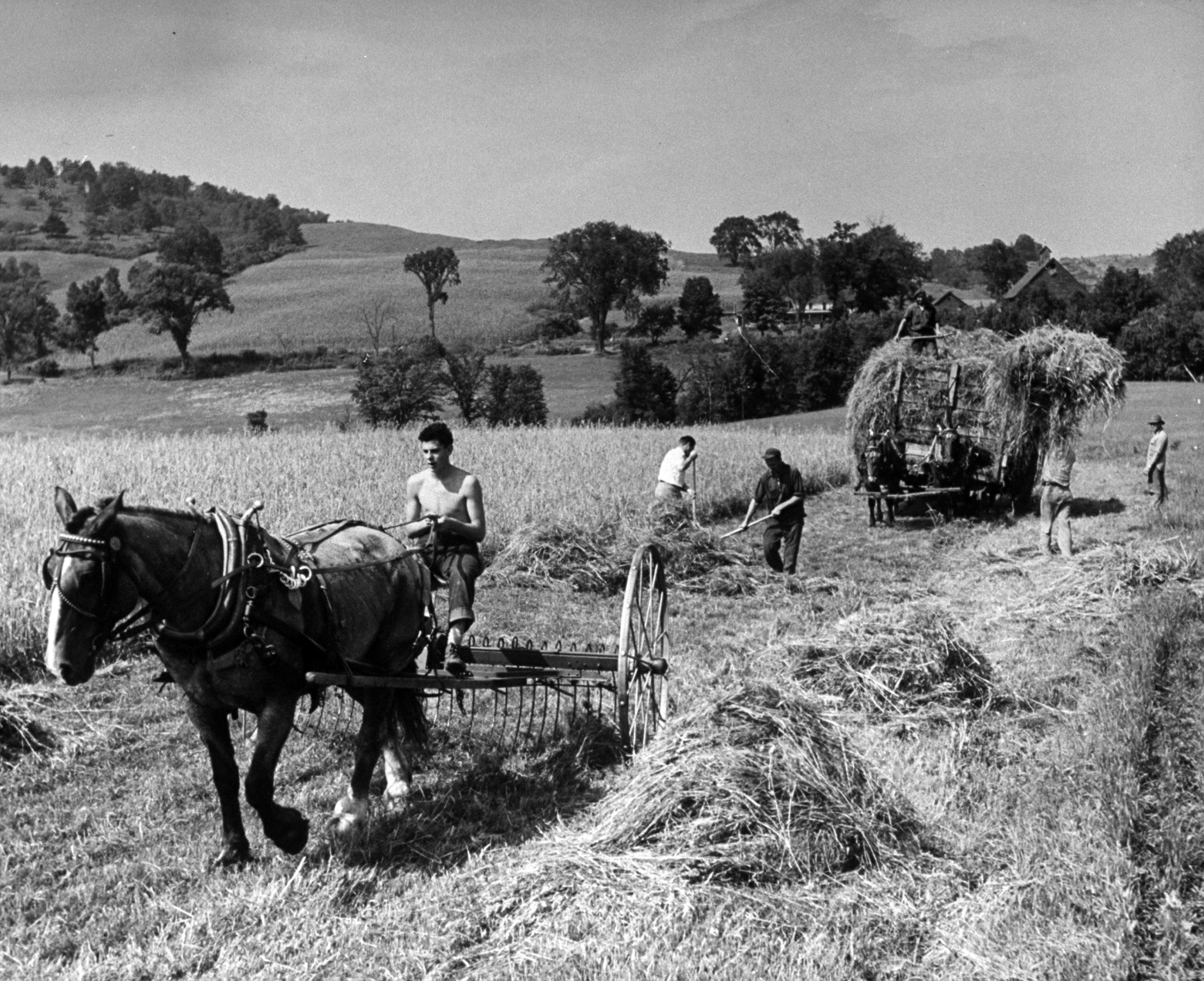 <b>Caption from LIFE.</b> Driving the hay rake on Acuntney Hill Farm at Windsor, Vt. is Dick Sterne, 16, of Hewlett, L.I. During summer months Dick washed more than 40,000 milk bottles.