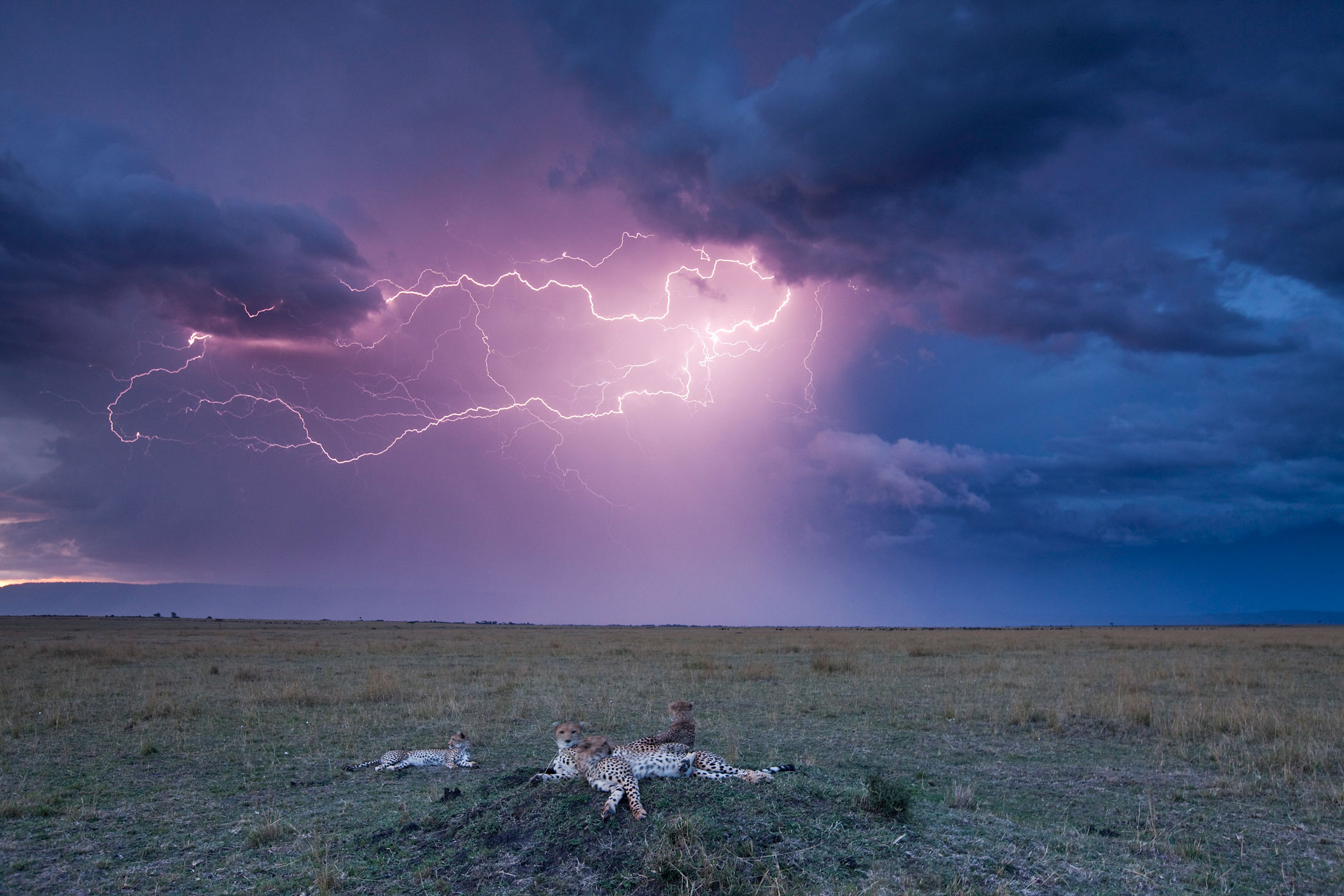 Lightning strikes above a cheetah with adolescent cubs on termite mound in Maasai Mara, Kenya, Sept. 22, 2009.