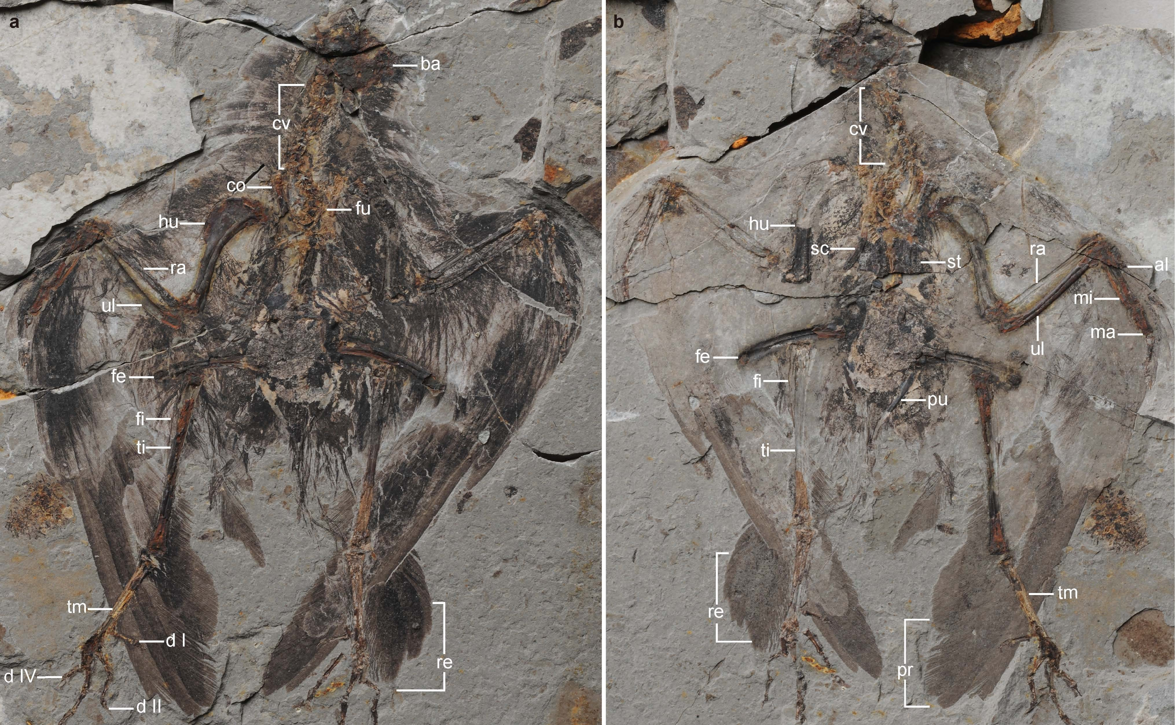Holotype of Archaeornithura meemannae, the oldest ancestor of modern birds has been dug up in China which evolved almost six million years earlier than previously thought.
