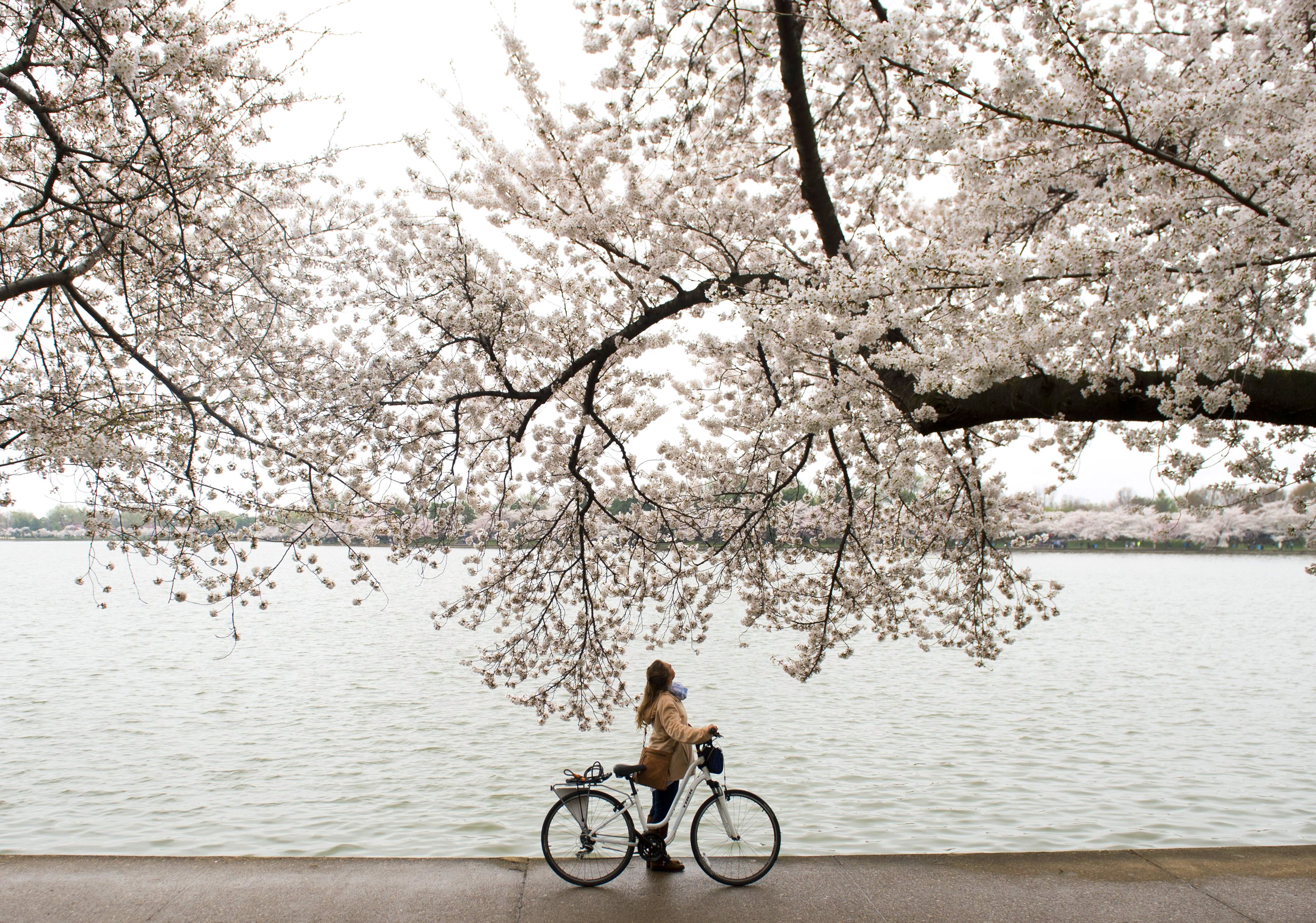 A bicyclist stops to look up at the cherry trees as they blossom around the Tidal Basin on the National Mall in Washington on April 10, 2015.
