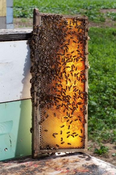 honey bees comb hive