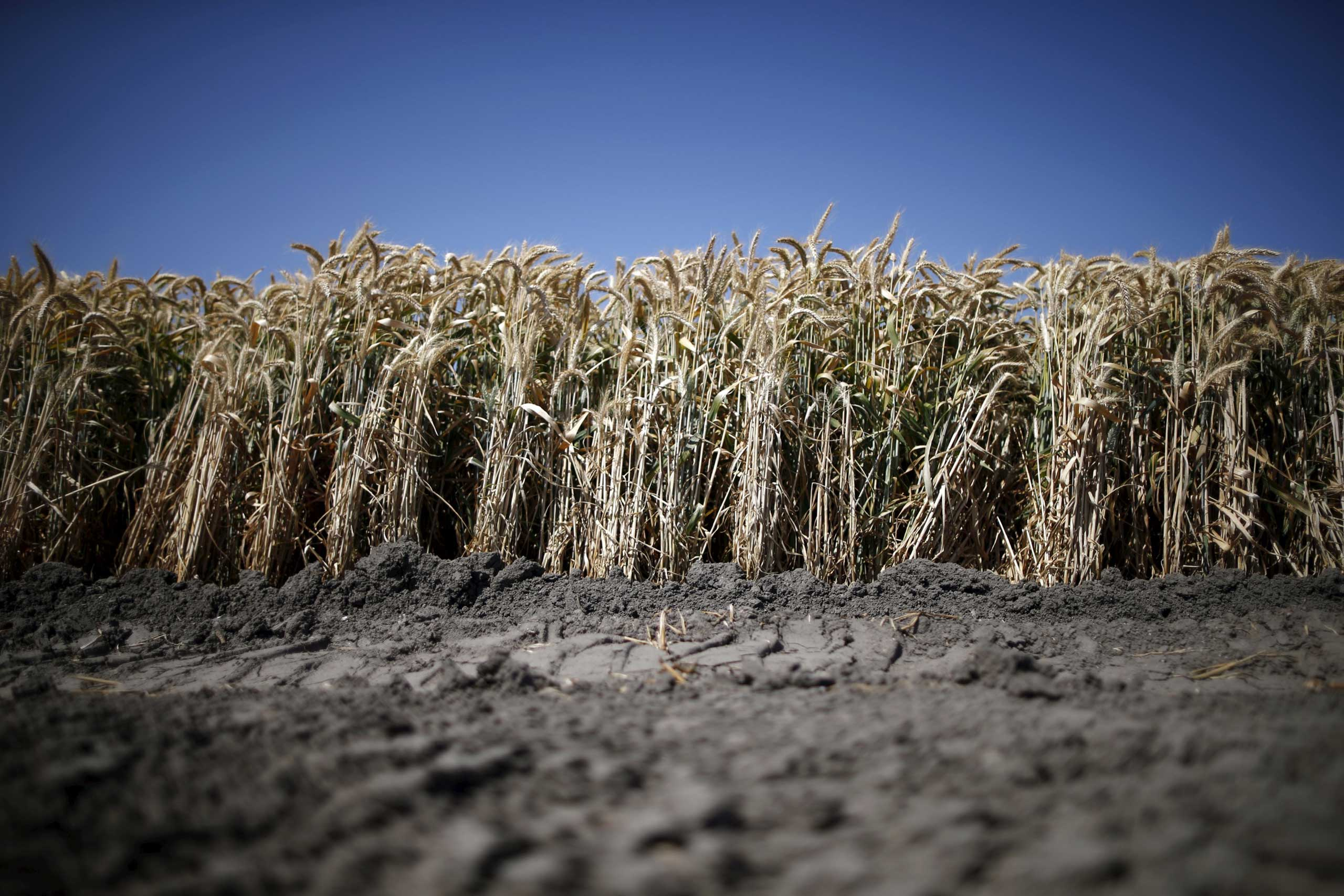 California's planting of staple crops such as cotton, corn, oats, barley, wheat, rice, and sunflowers will total 1.72 million acres in 2015, down from 1.90 million acres in 2014, according to data from the National Drought Mitigation Center. A wheat field is seen in Los Banos, Calif. May 5, 2015.
