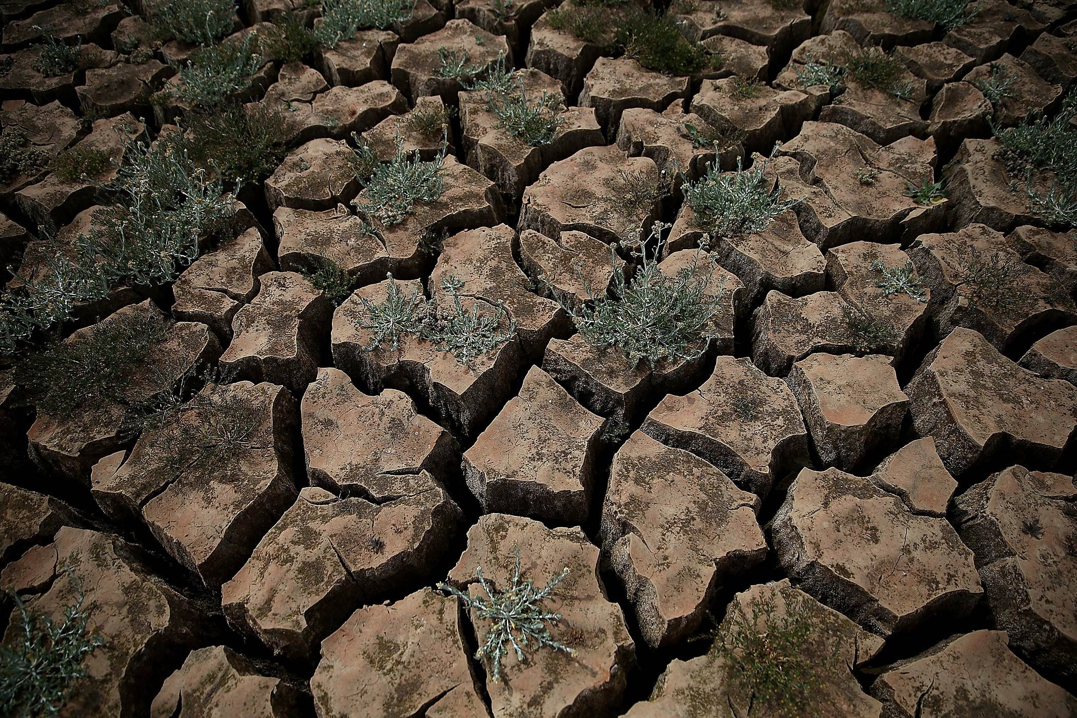 Weeds grow in dry cracked earth that used to be the bottom of Lake McClure on March 24, 2015 in La Grange, Calif.