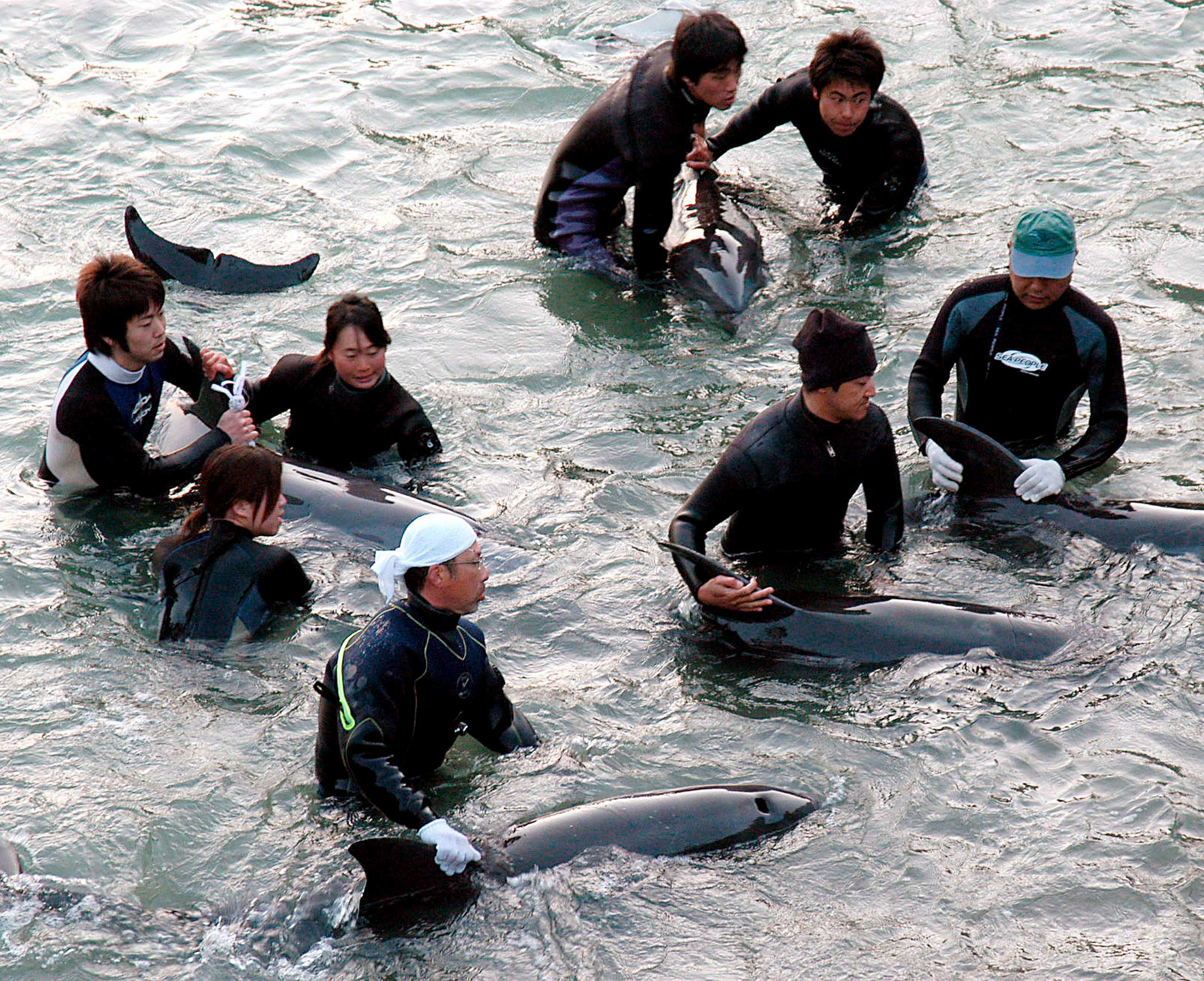 Fishermen trapping a group of dolphins in a holding cove following a large capture of dolphins in Taiji, Japan in 2007.