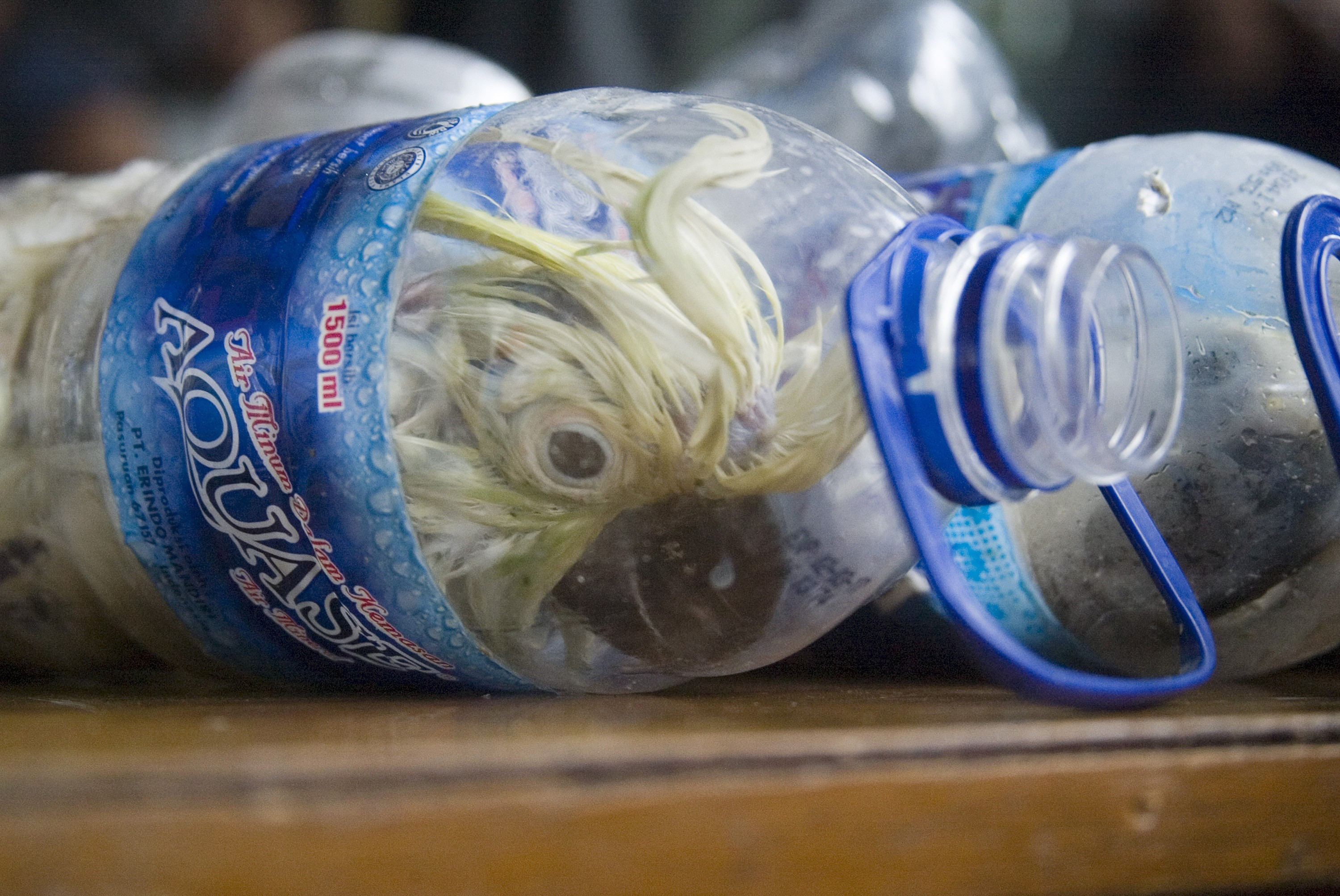 A Cacatua sulphurea that was successfully secured from illegal wildlife trading is seen in an empty bottle in Surabaya, Indonesia, on May 4, 2015
