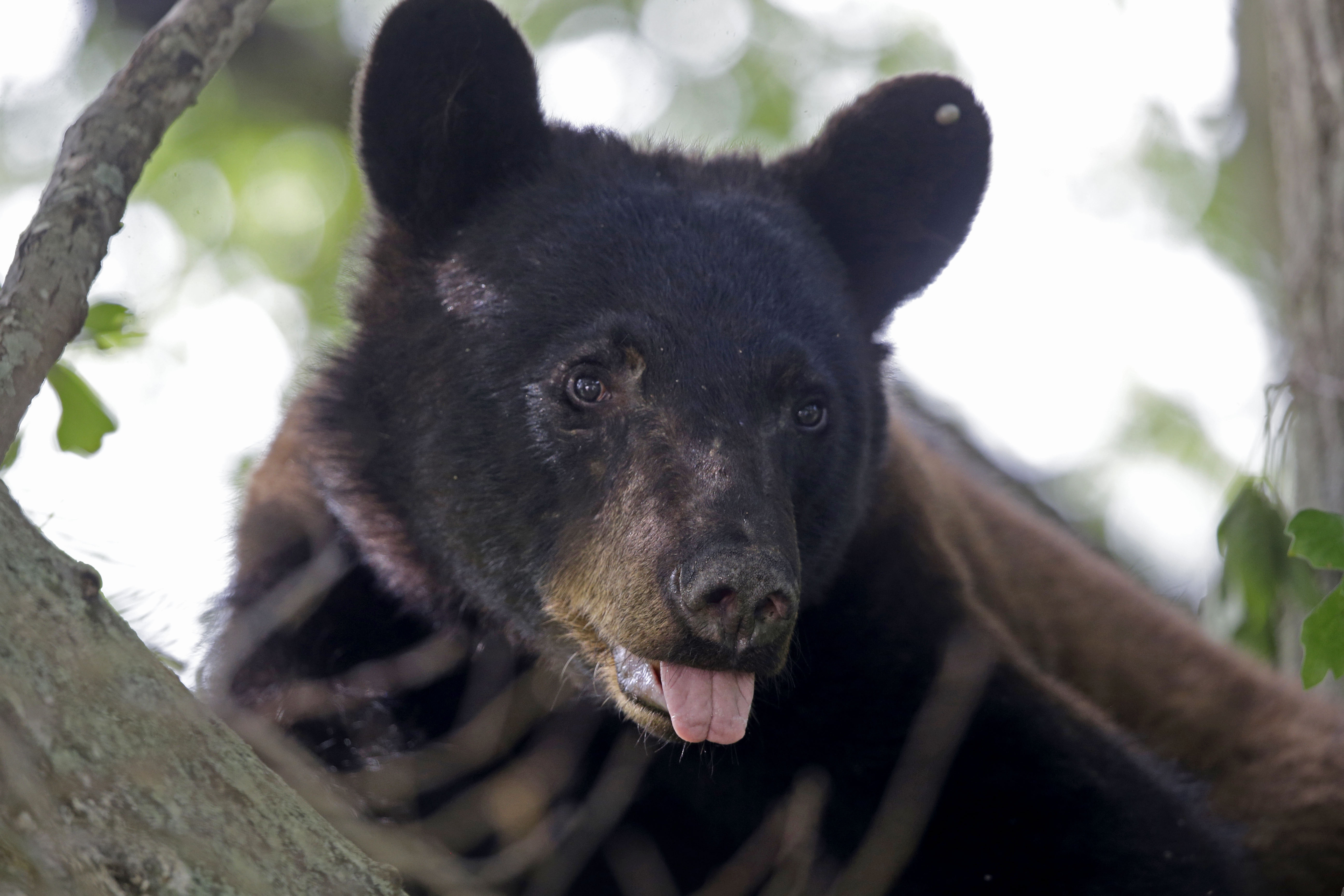 In this May 17, 2015 photo, a Louisiana Black Bear, sub-species of the black bear that is protected under the Endangered Species Act, is seen in a water oak tree in Marksville, La.