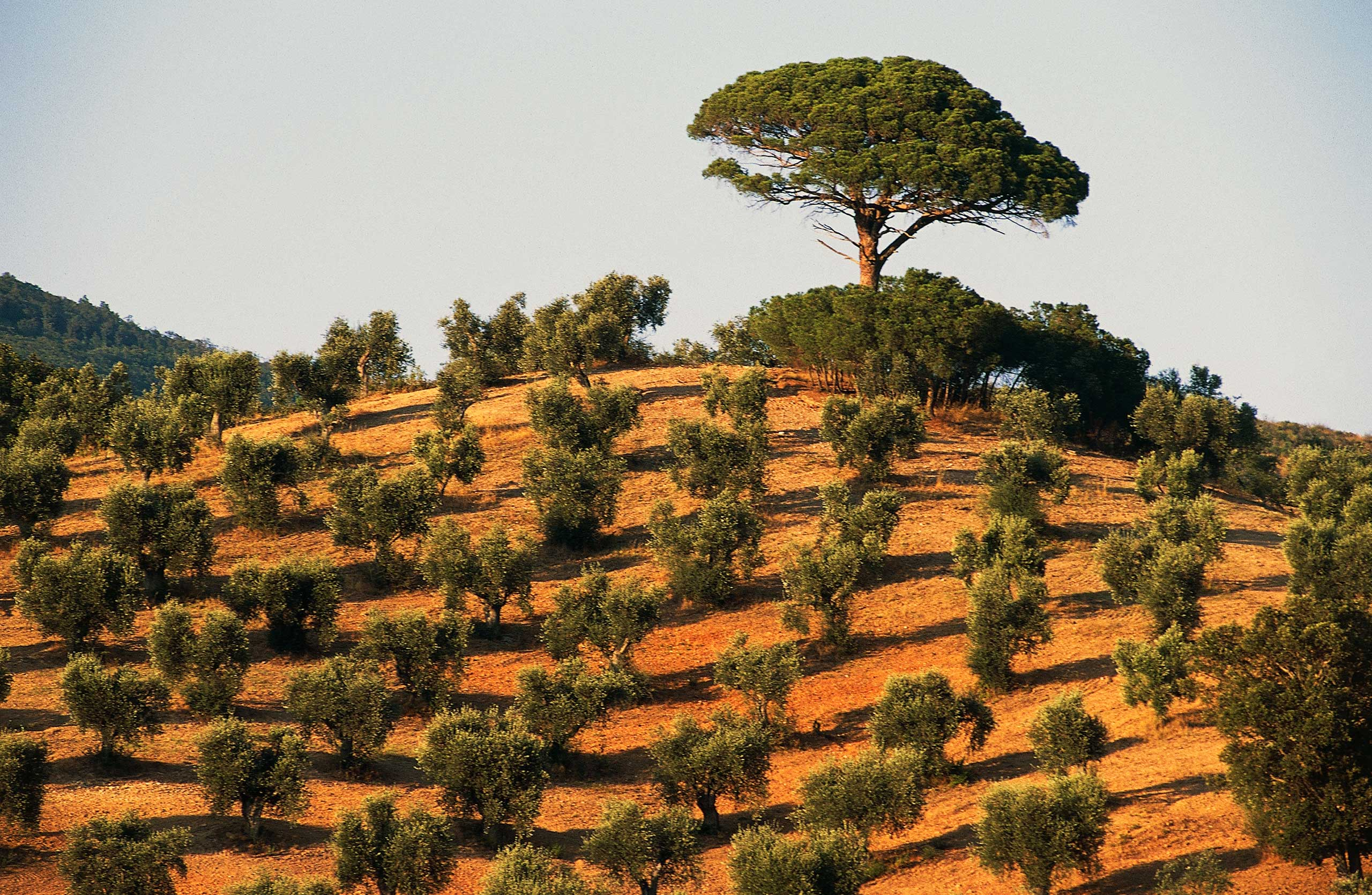 Olive trees in Tuscany, Italy.