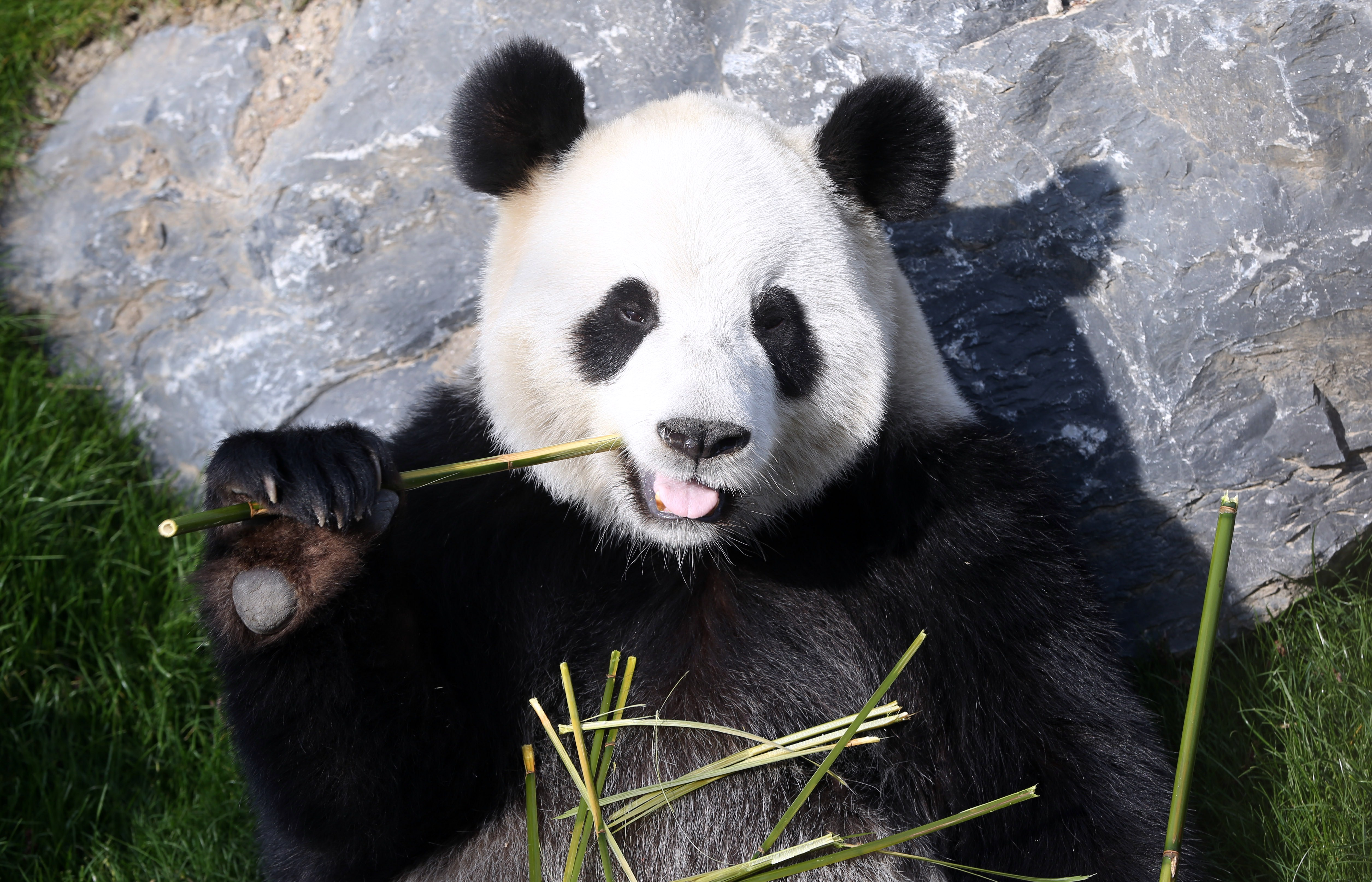 A photo taken on April 1, 2014 shows the giant panda Hao Hao eating bamboo at Pairi Daiza animal park in Brugelette, Belgium.