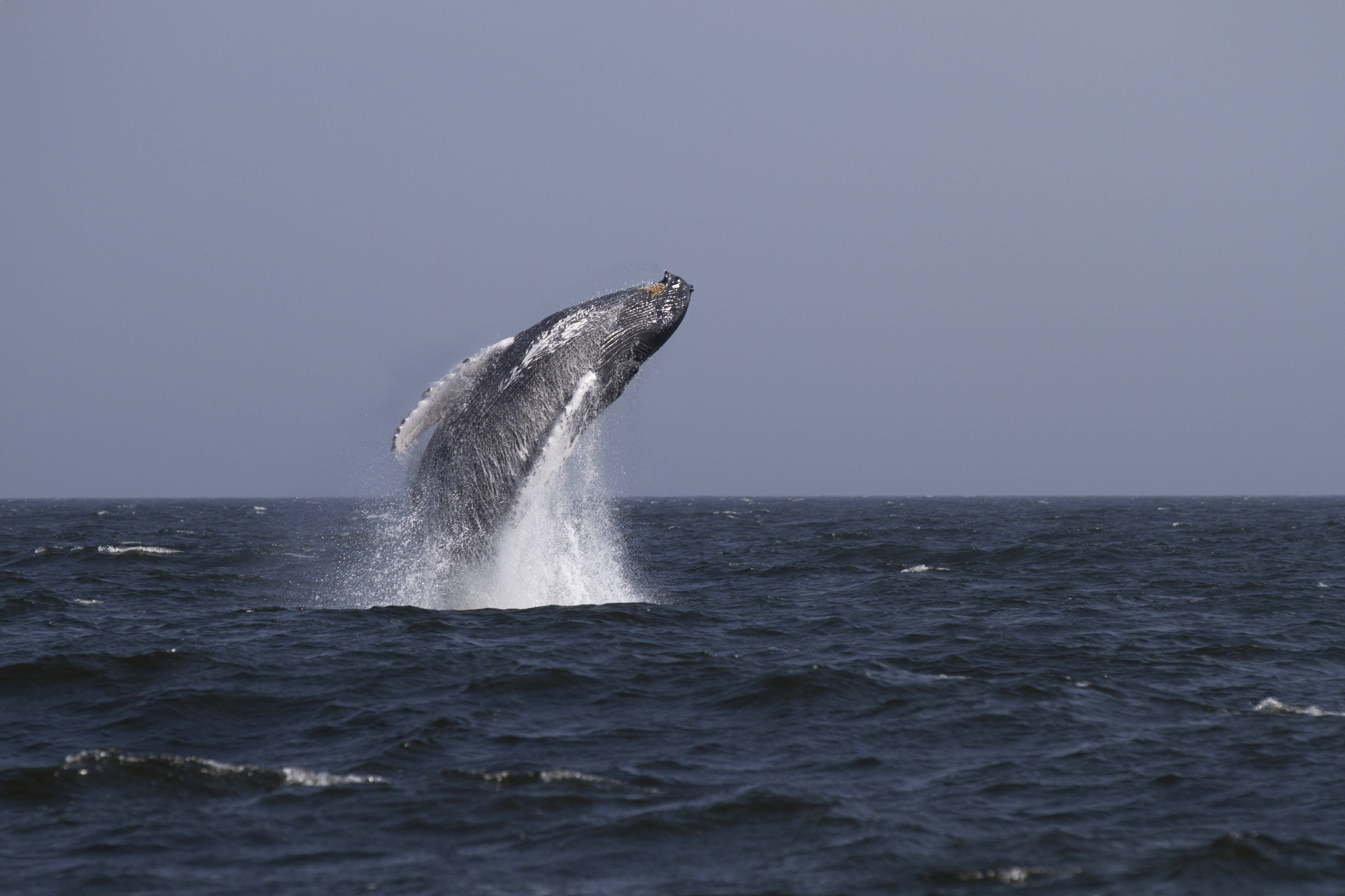 Humpback whale breaches 3 miles off of Rockaway Beach on August 31, 2014 in New York City